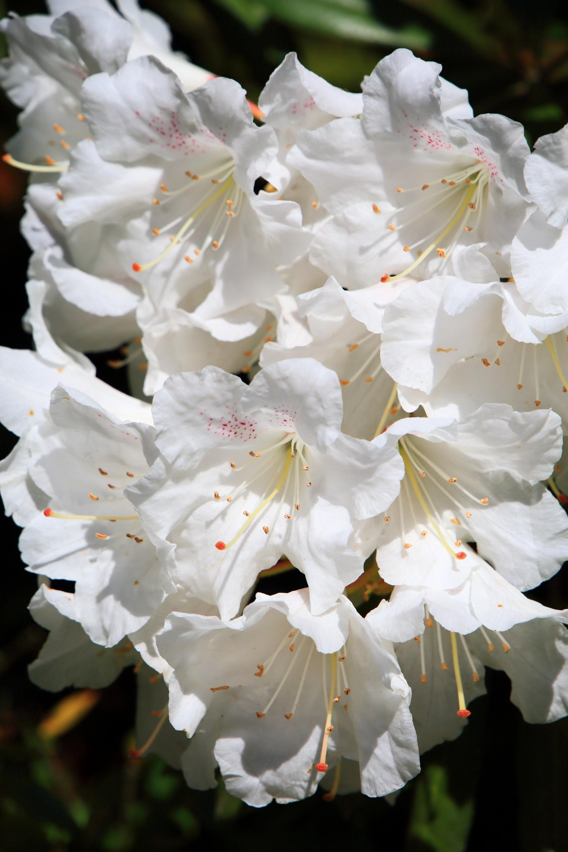 賑やかな白い石楠花の花につつまれる観音堂