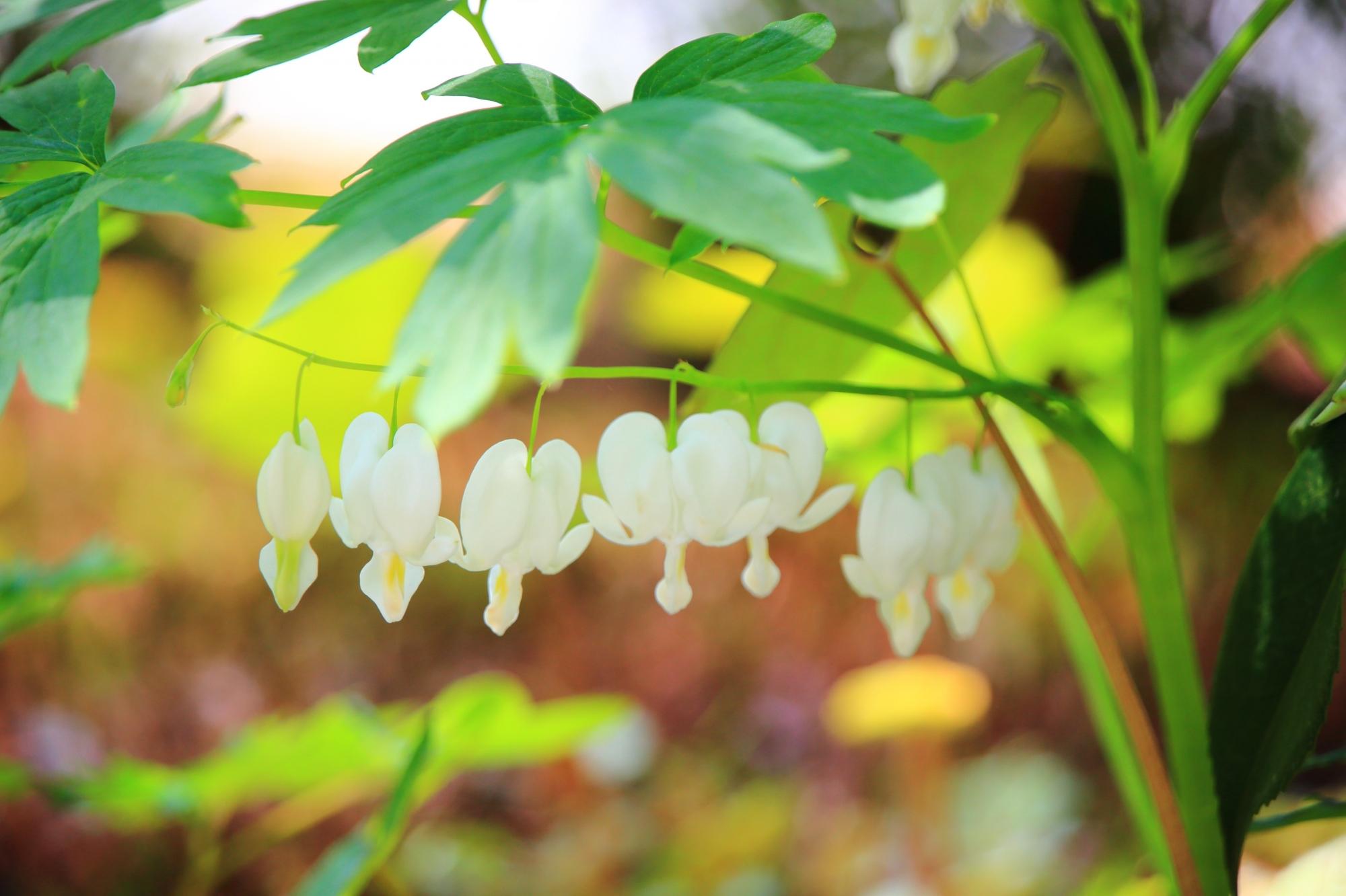 三千院の白いハート型のケマンソウの花