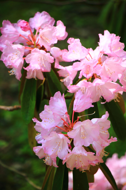 いろんな方向をむいた気まぐれな石楠花の花