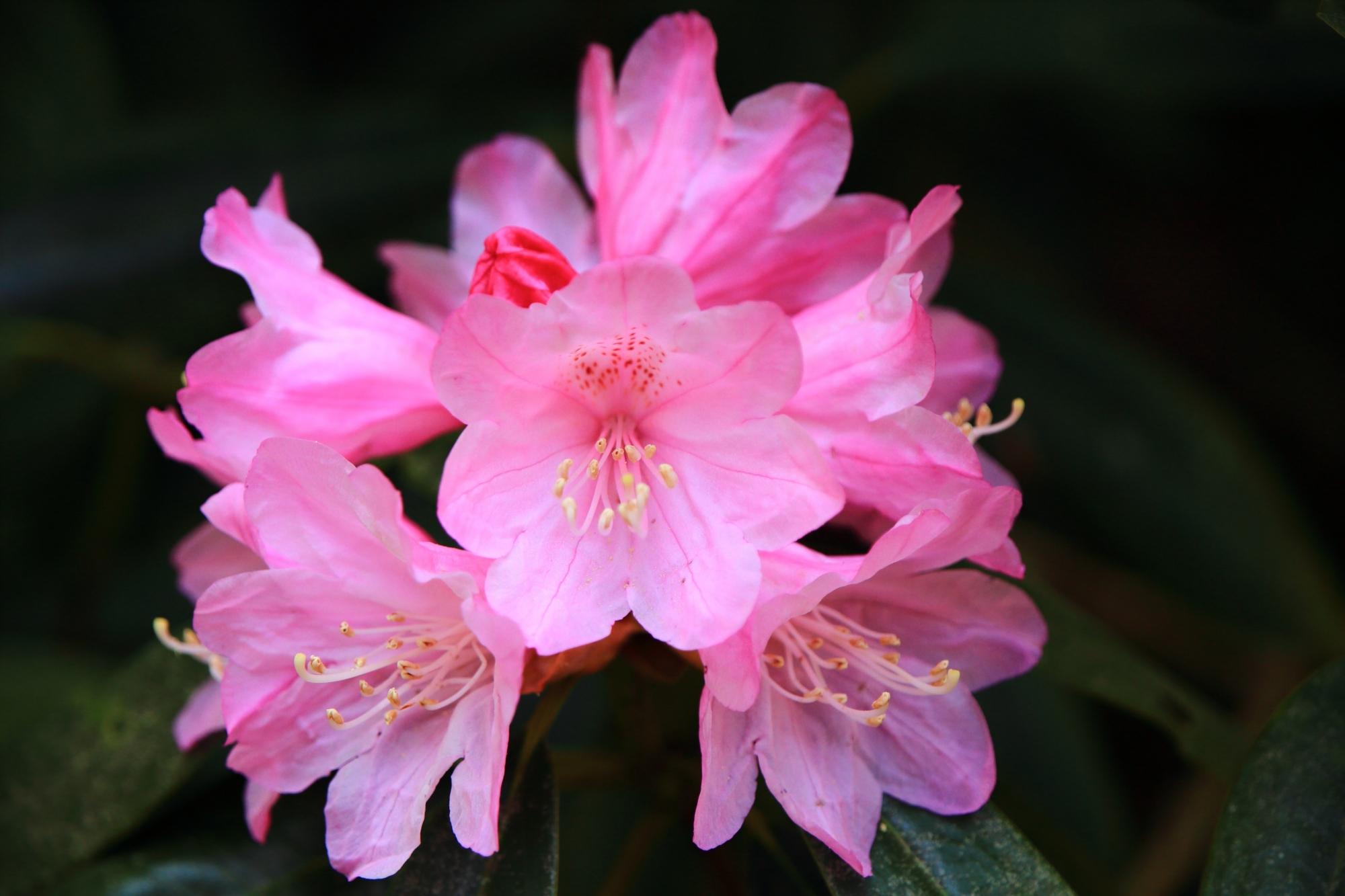 元気で華やかなピンクの石南花の花