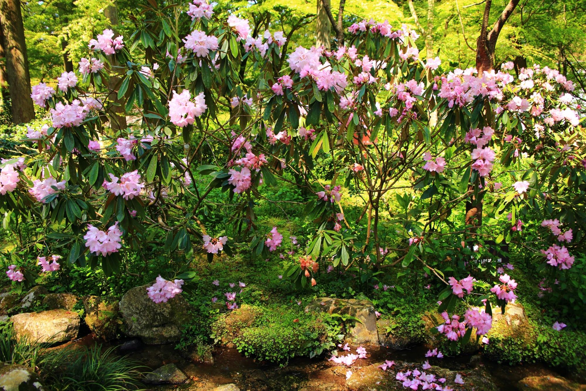 三千院の紫陽花苑の石楠花