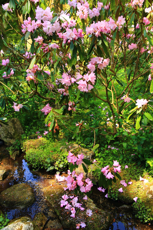 風情たっぷりに散るピンクの石楠花