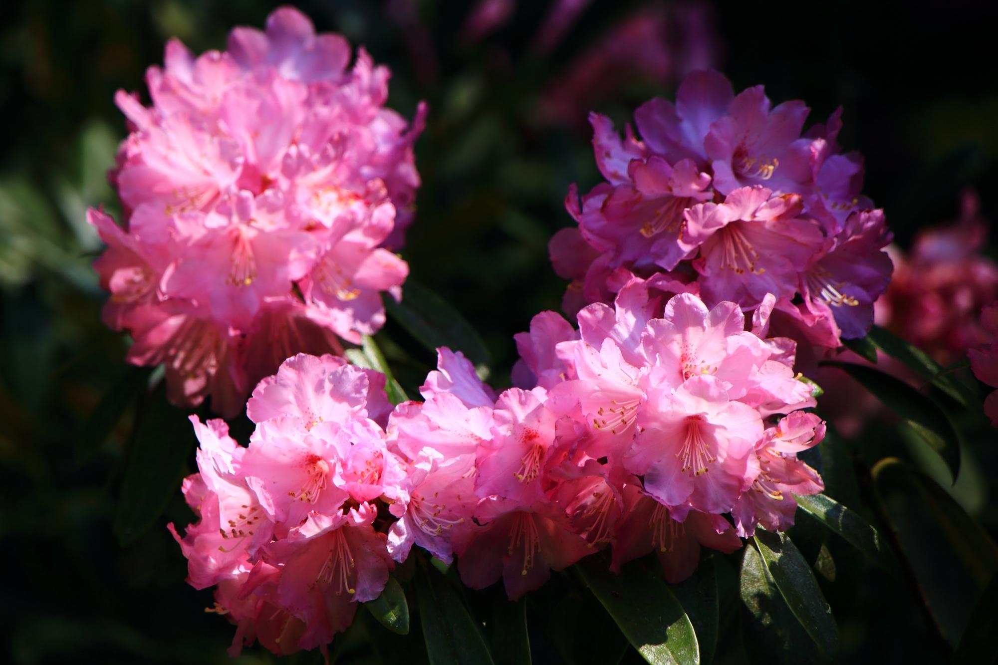 三千院の太陽を浴びて輝くピンクの石楠花