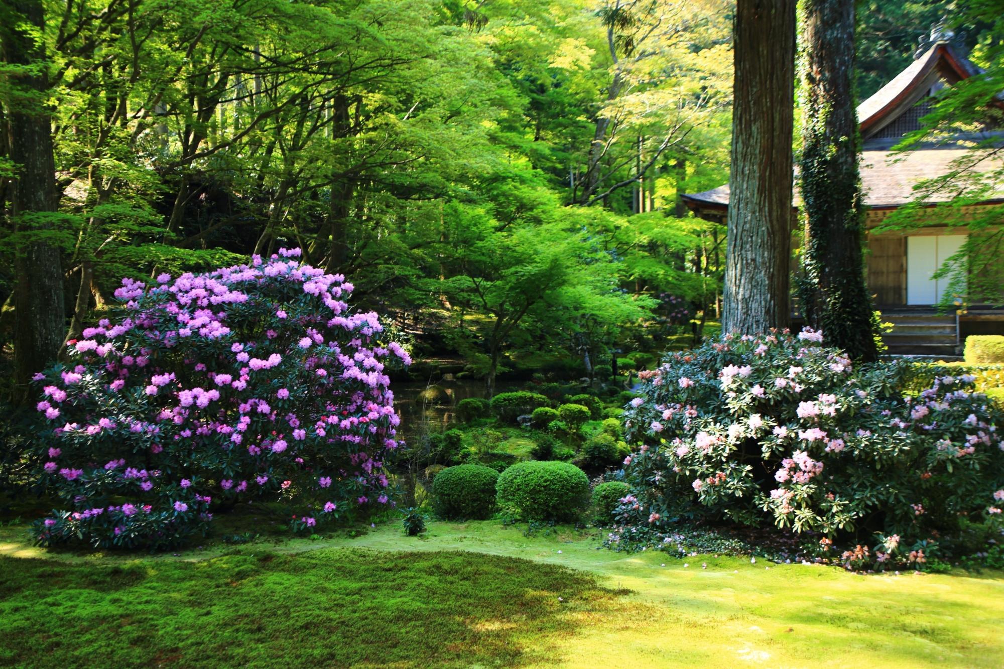 三千院の素晴らしい石楠花と春の花々と情景