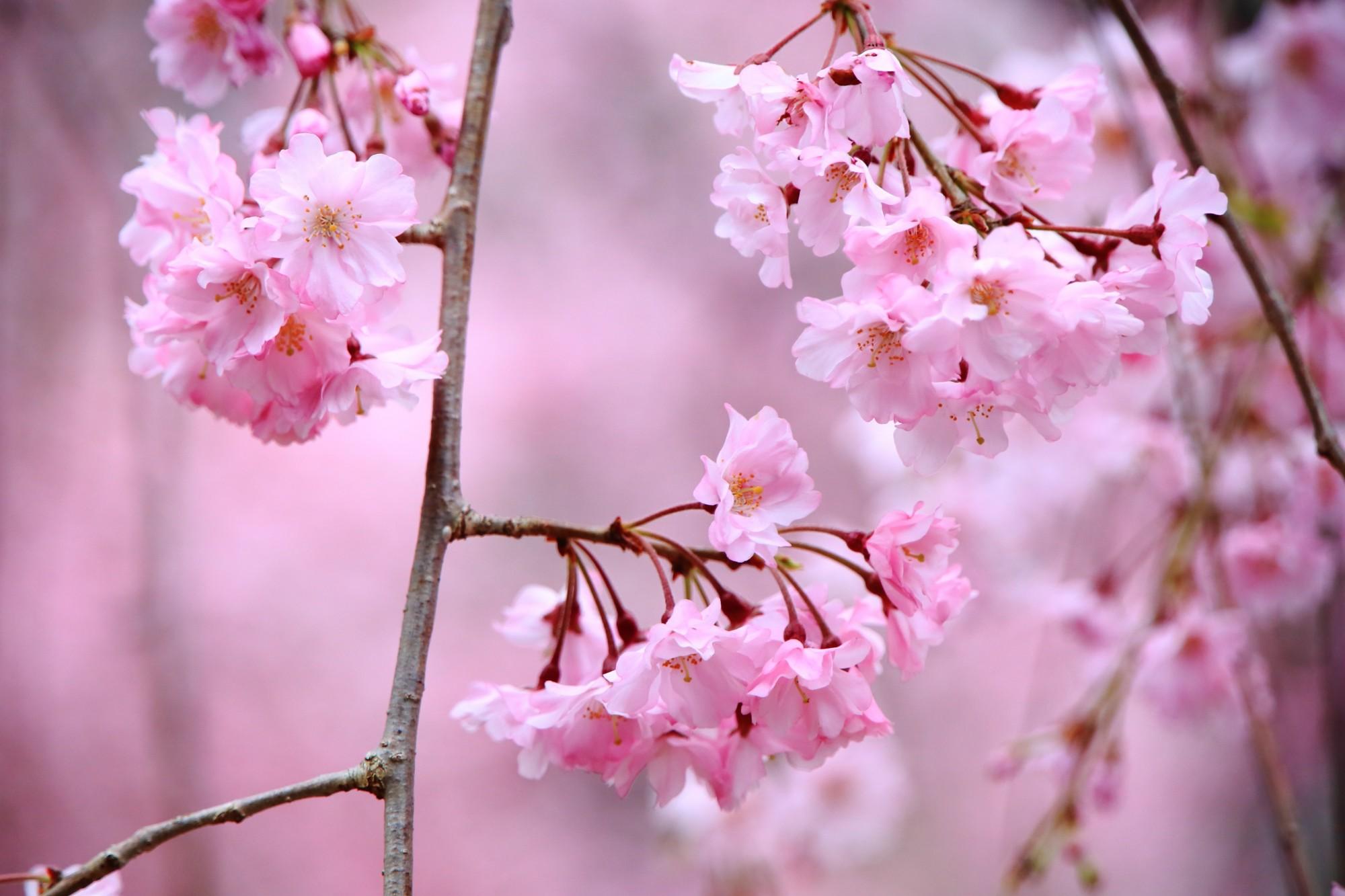 上品なしだれ桜の名所