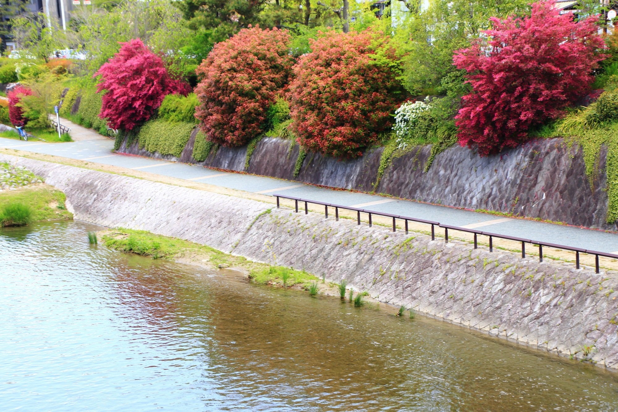 鴨川 紅花常磐万作と小手毬 春の華やかな情景