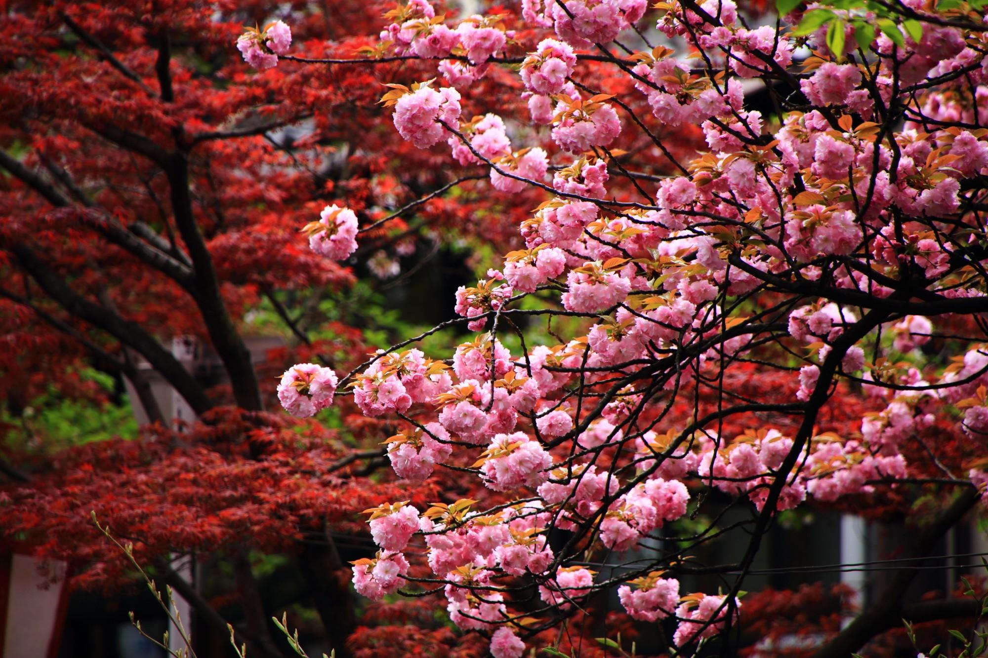 遅咲きの丸いピンクの桜