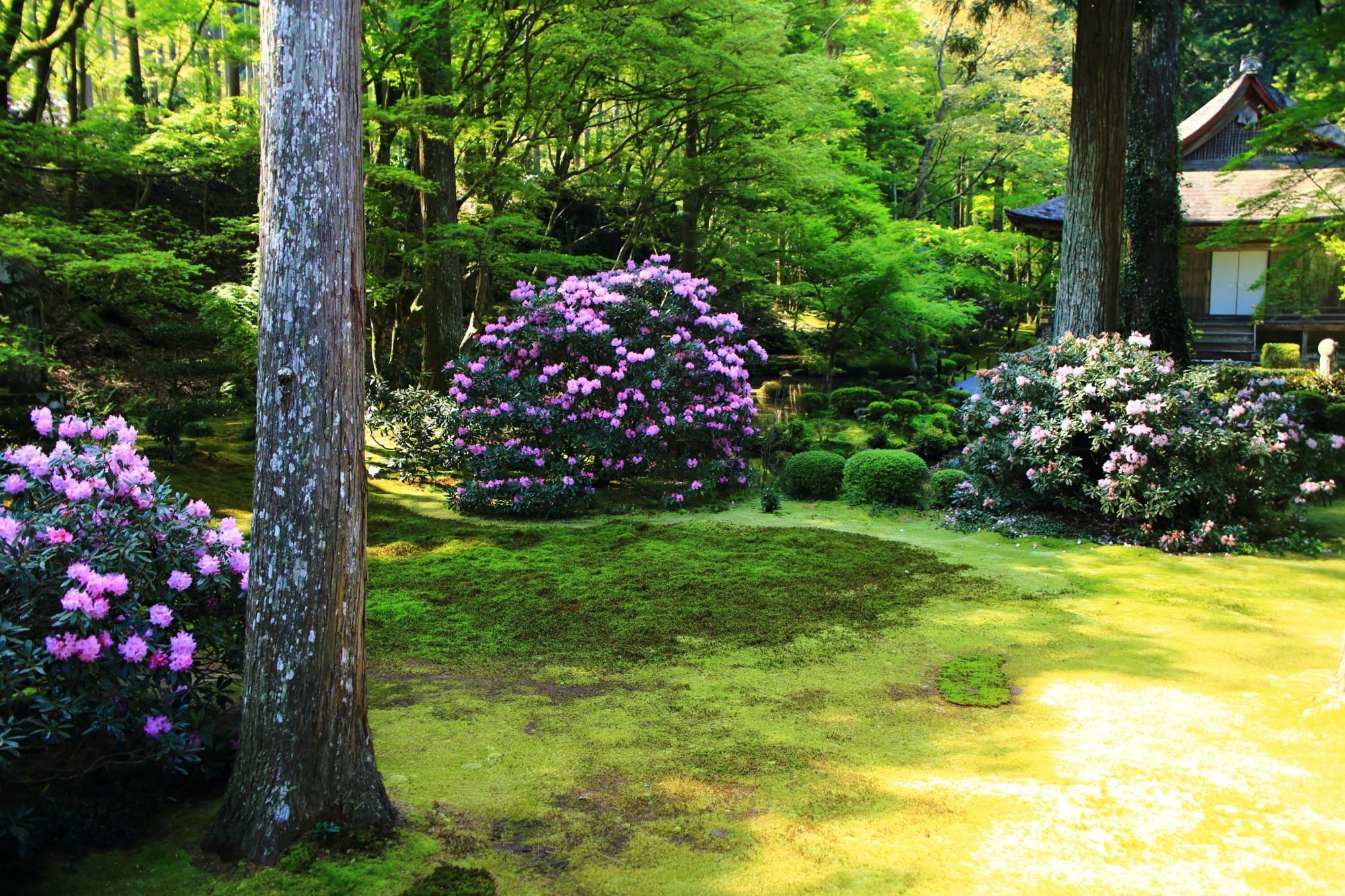 三千院 石楠花 優美な春の彩りと可愛いハート型の花