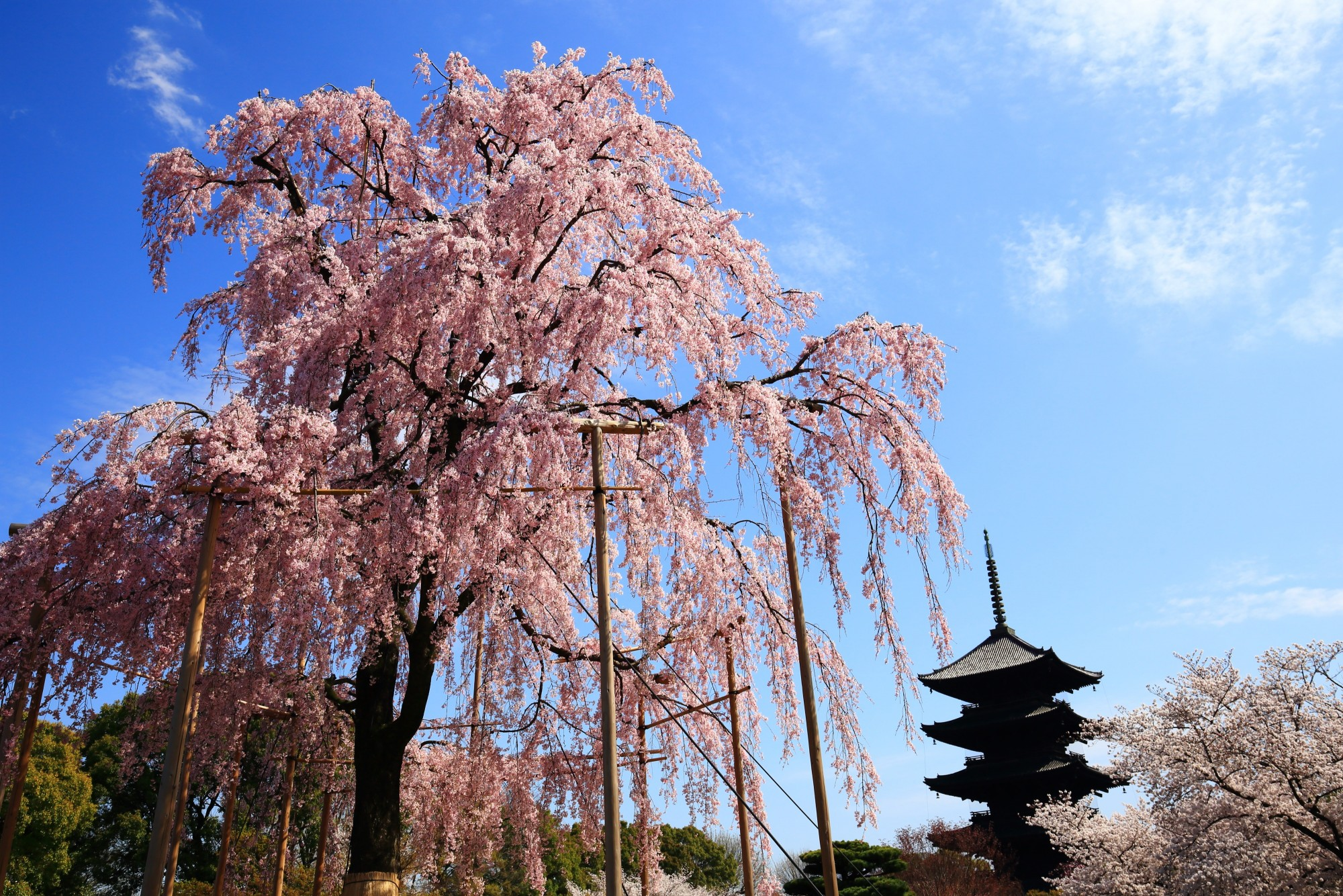 東寺 桜 豪快な不二桜と華やかな春の彩り