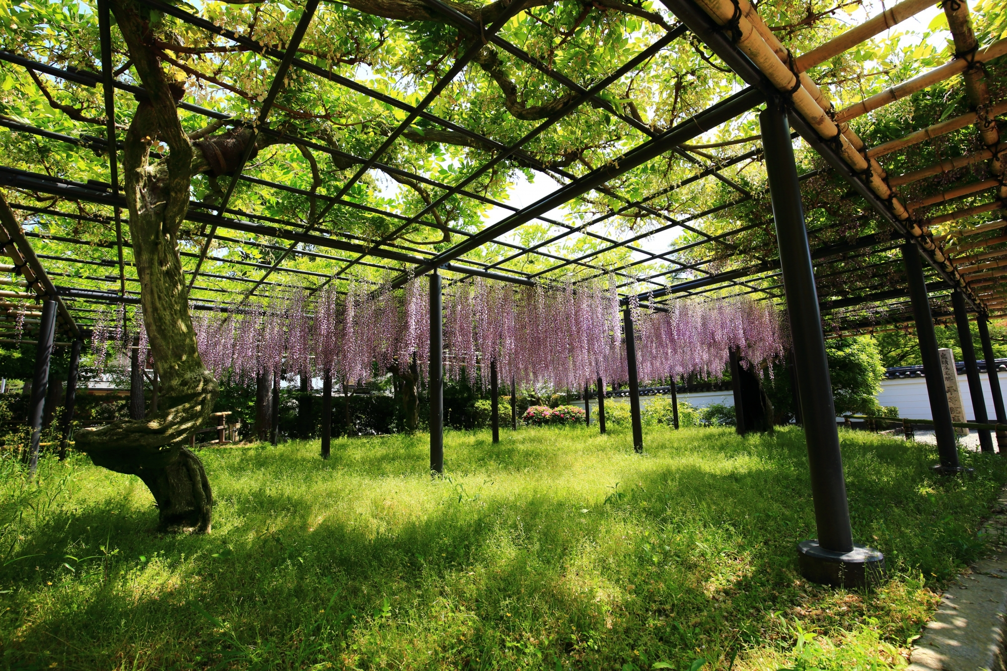 緑の芝生の上で優雅に揺らぐ表門前の薄紫の藤の花