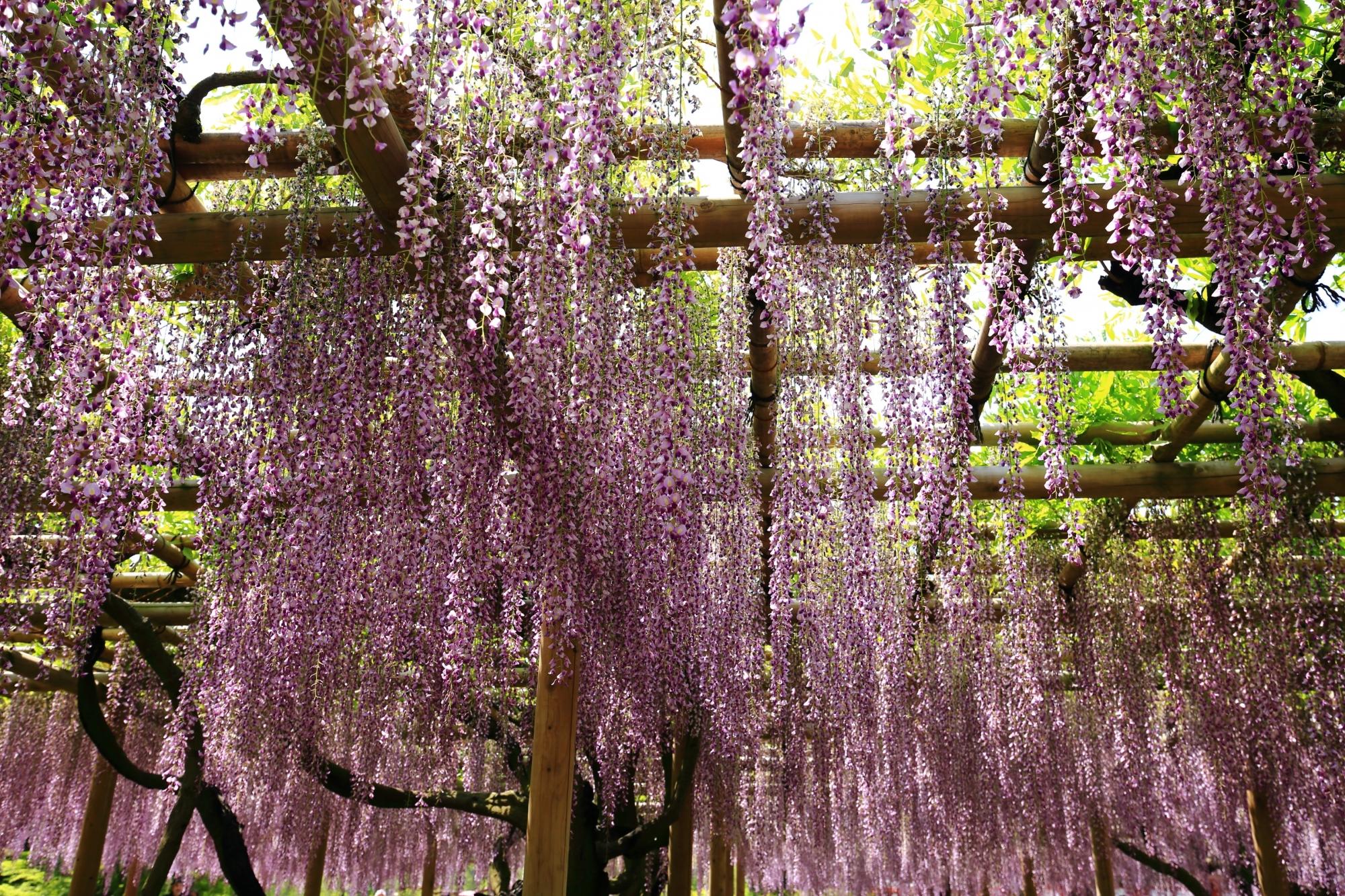 降り注ぐ華やかな薄紫の藤の花