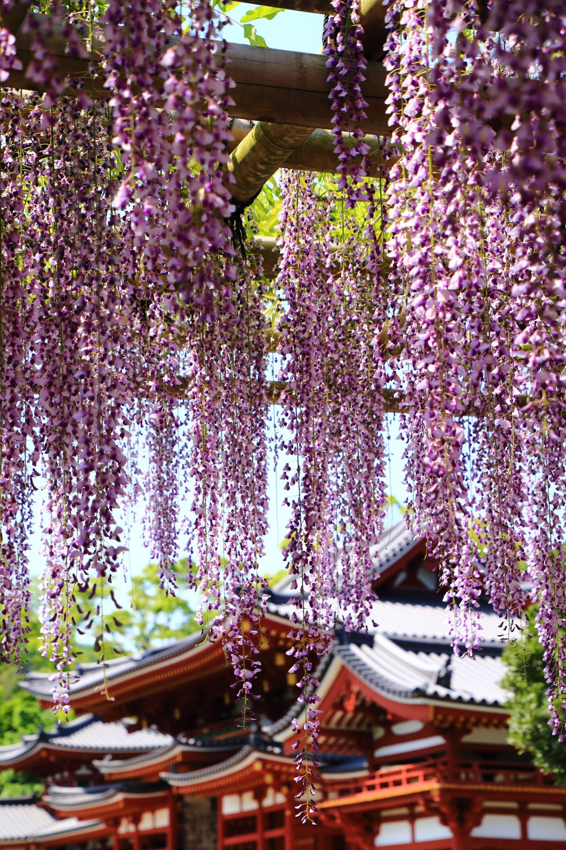 色鮮やかな鳳凰堂と華やかな色合いの藤の花