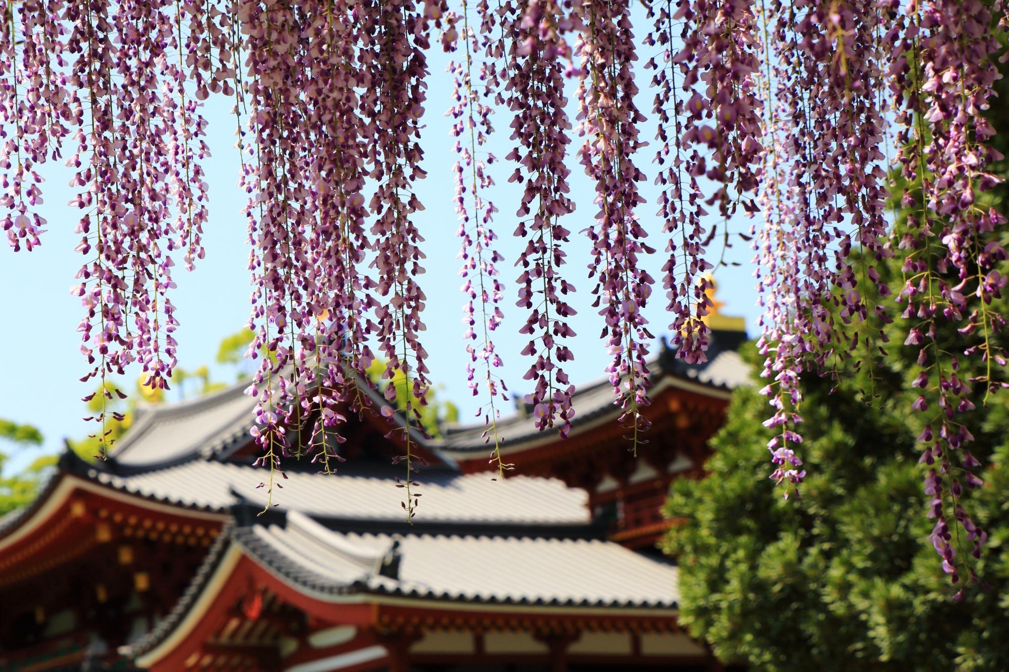 鳳凰堂に降り注ぐ藤の花