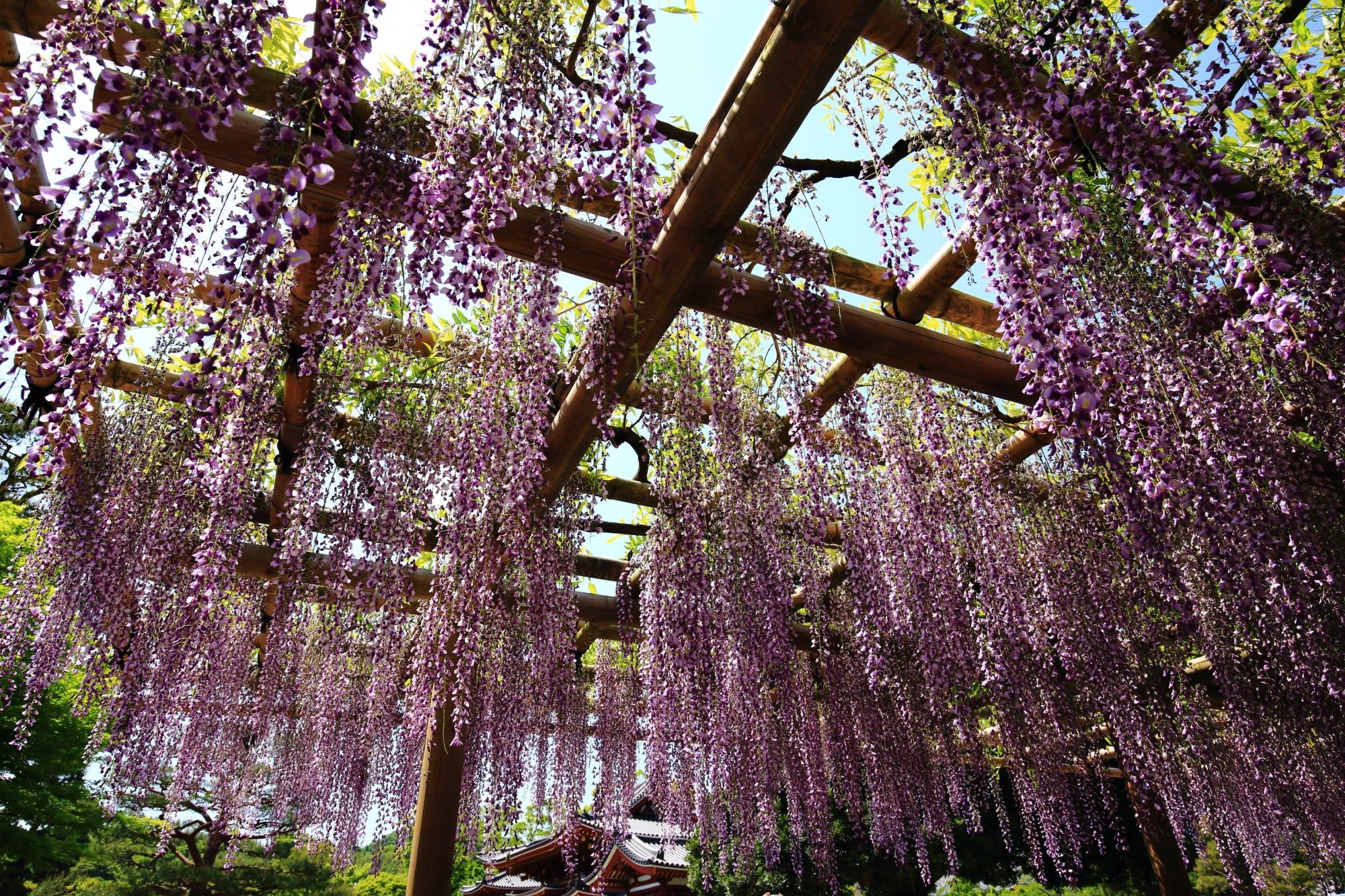鳳凰堂をつつむ幻想的な紫の花