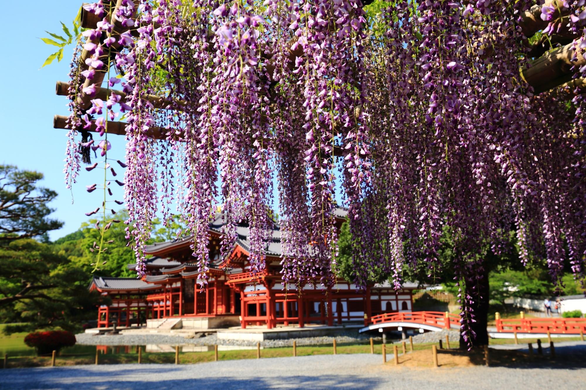 藤と鳳凰堂の平等院の絵になる春の風景