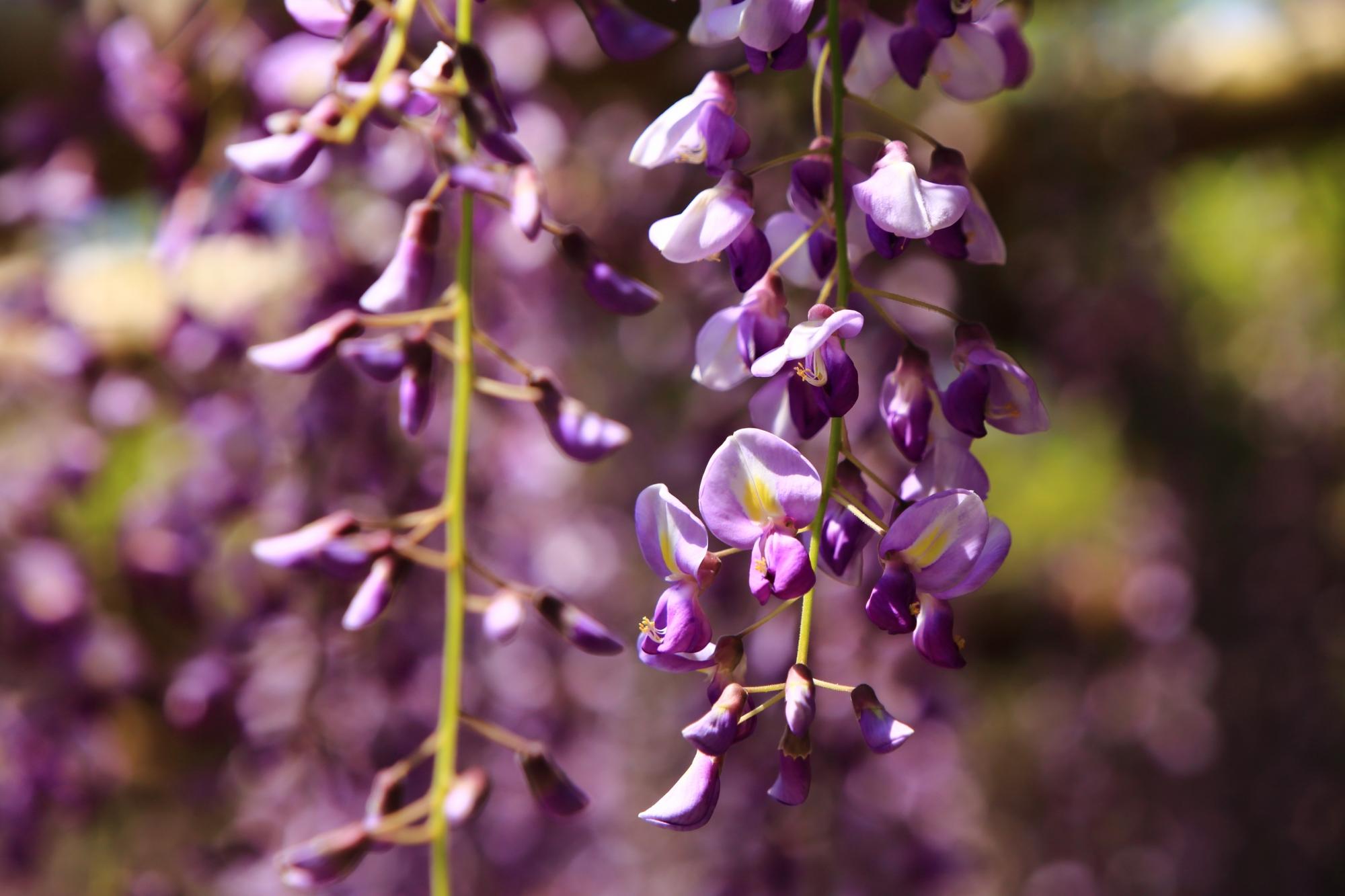 可愛い繊細な花いっぱいつけるふじ