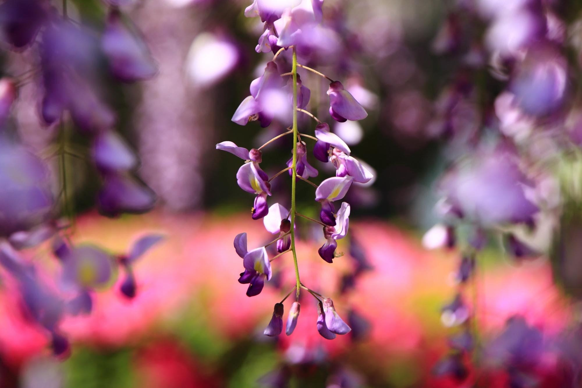 ピンクのツツジの花と紫の藤の花