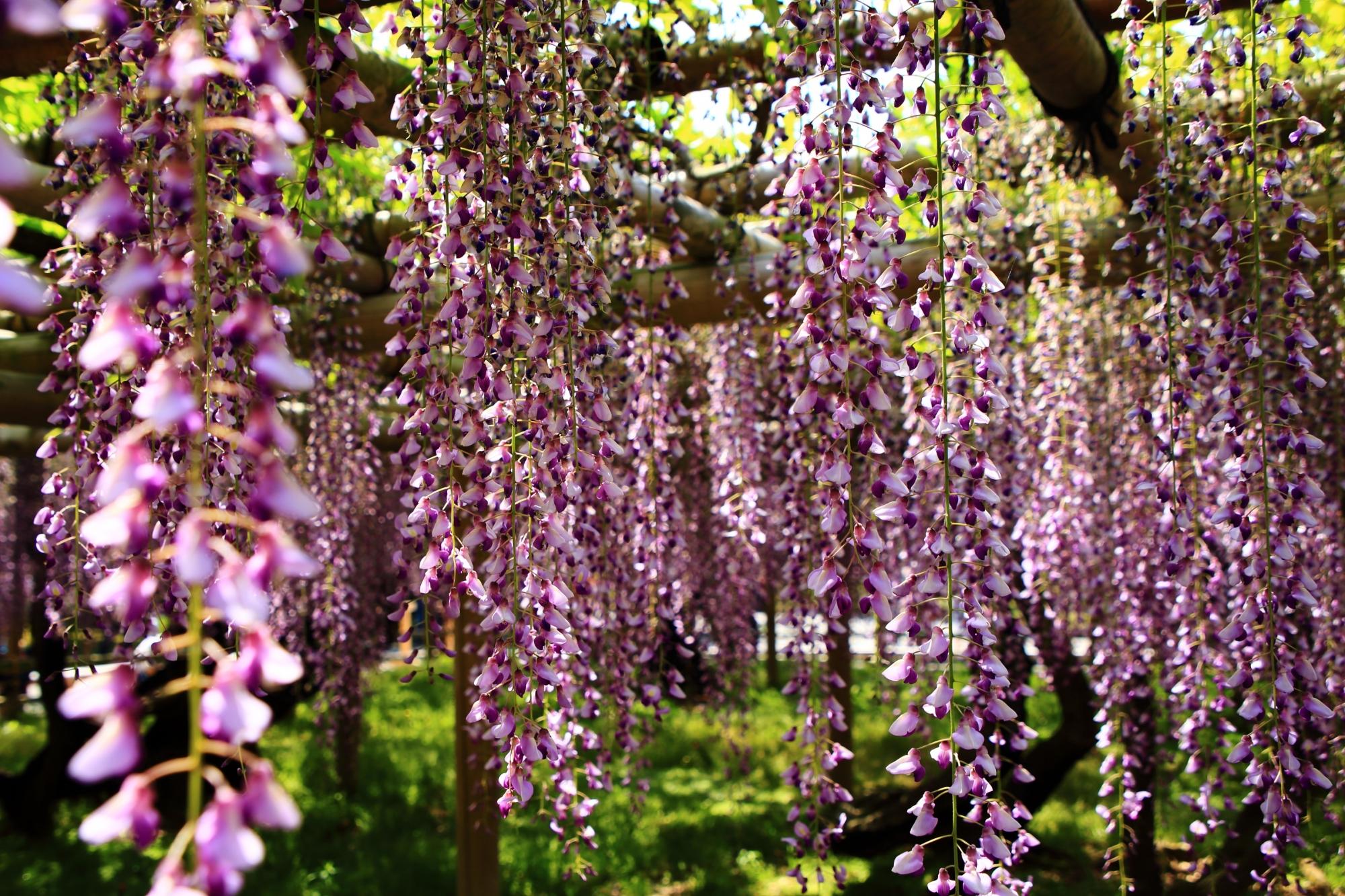 華やかさの中にも風情が感じられる平等院の藤