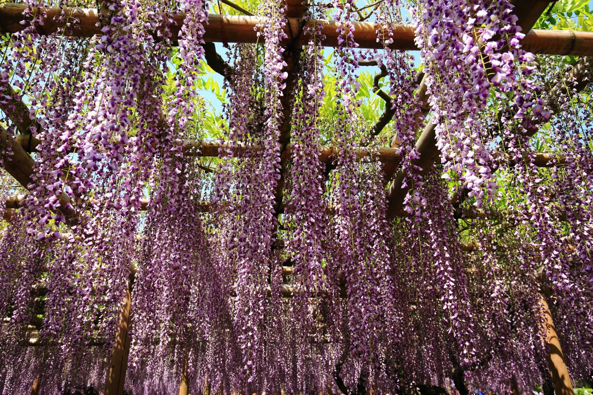 紫の藤の花の天井
