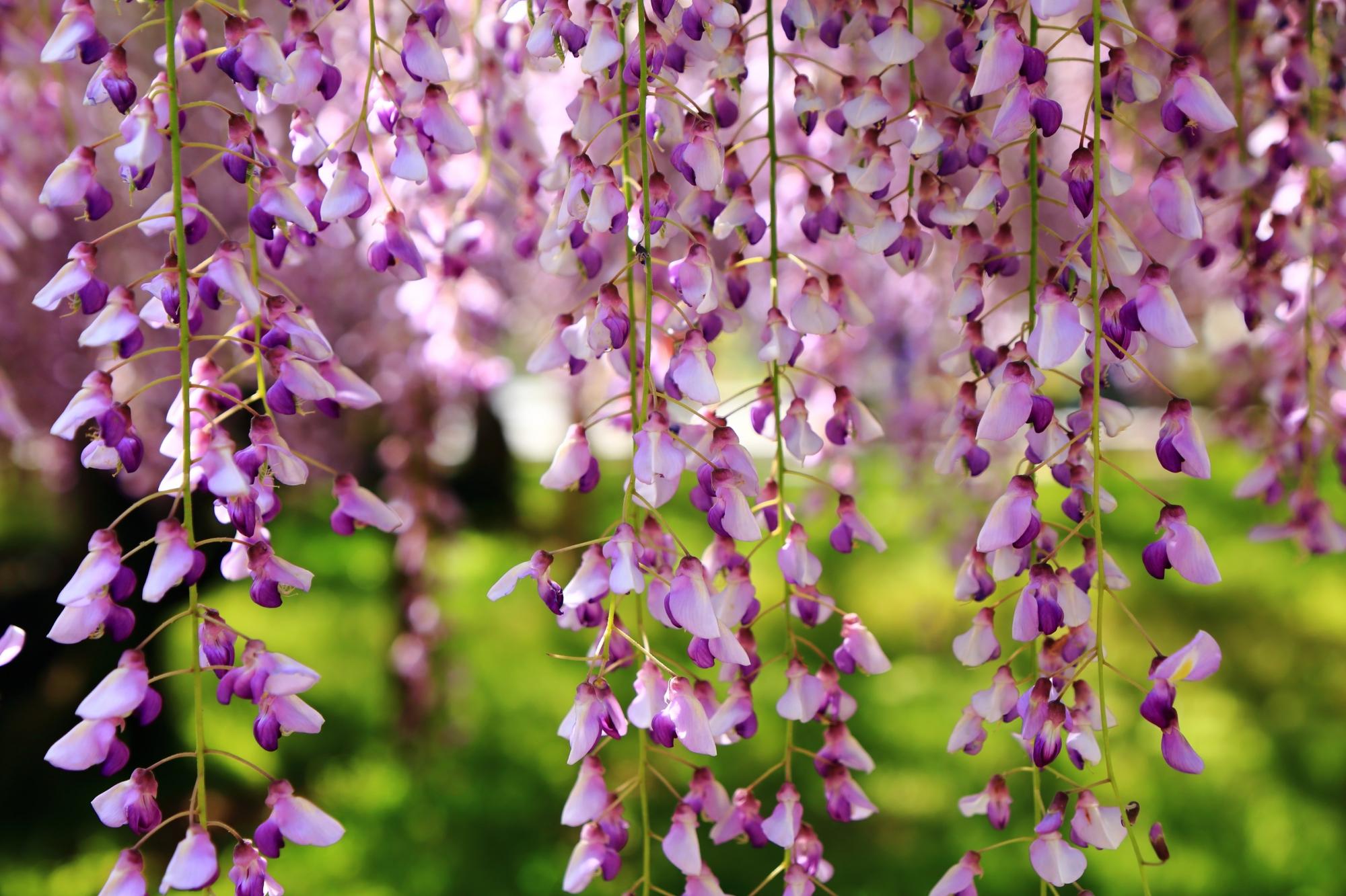 長閑な春を彩る長く伸びた紫の藤