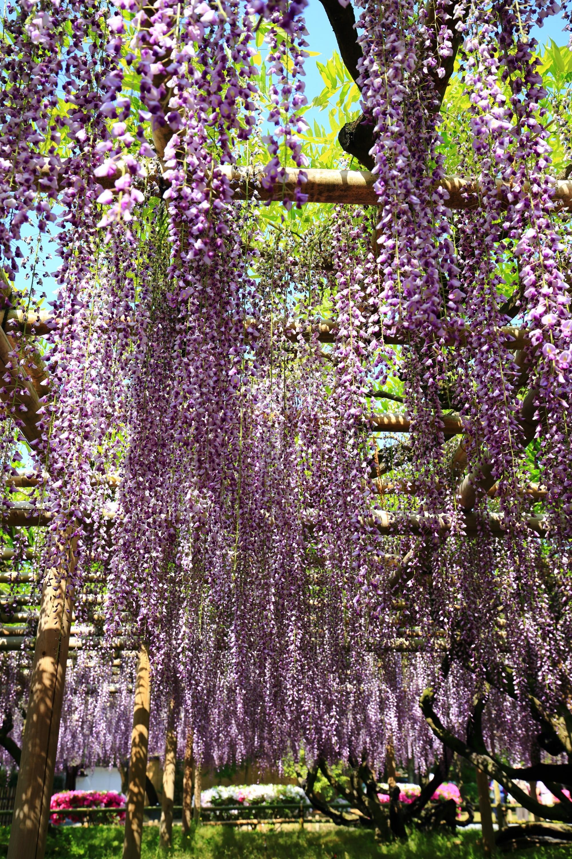 揺らめく絶品の藤の花