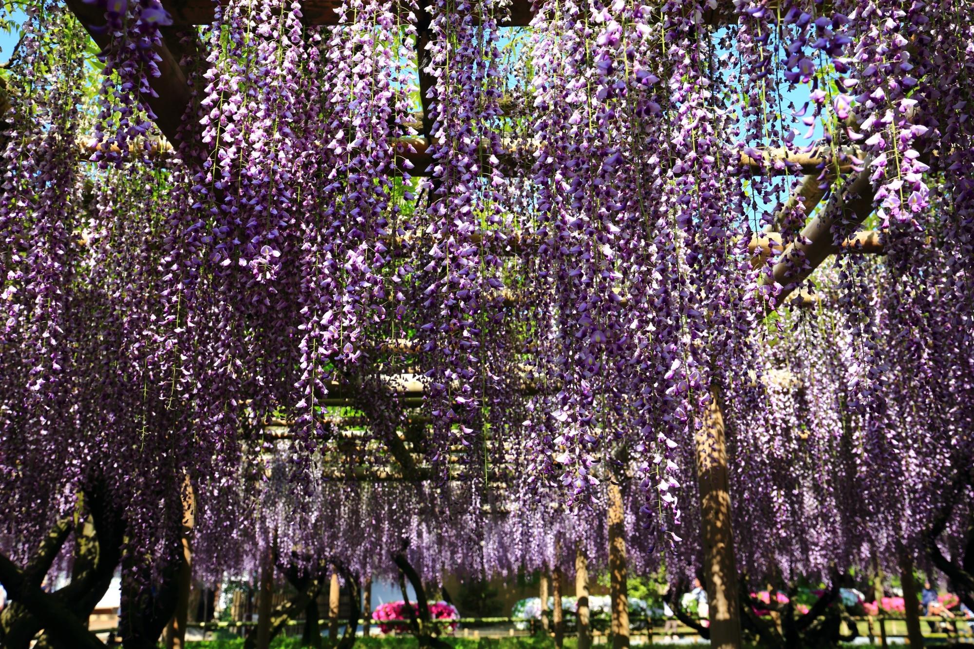 天晴れな春色の藤の花につつまれる平等院