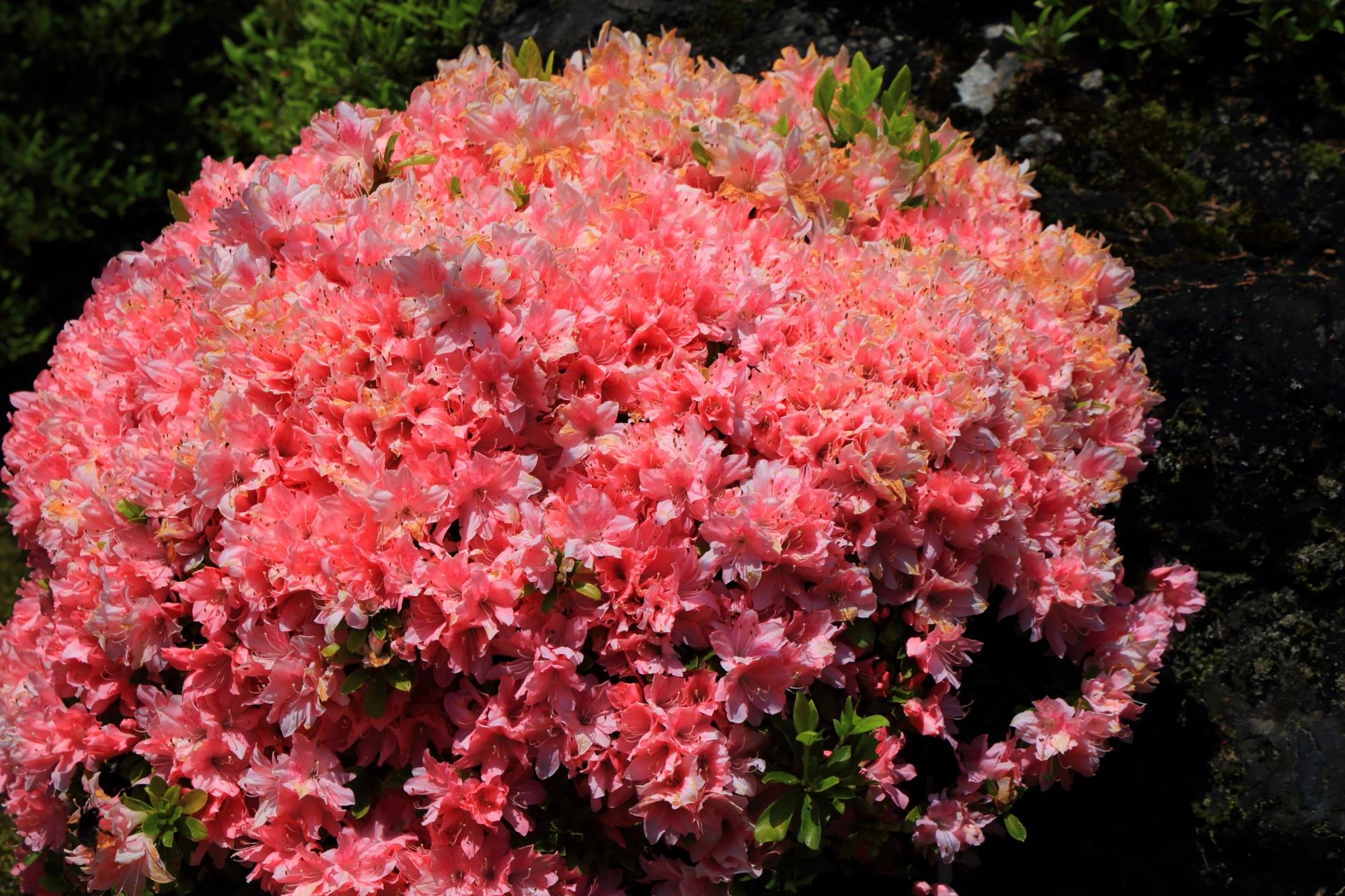 春を彩る輝くピンクのツツジ