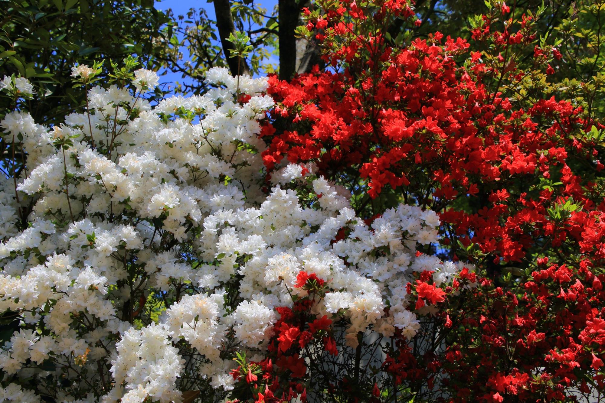 三室戸寺のおめでたい色合いの紅白のツツジ