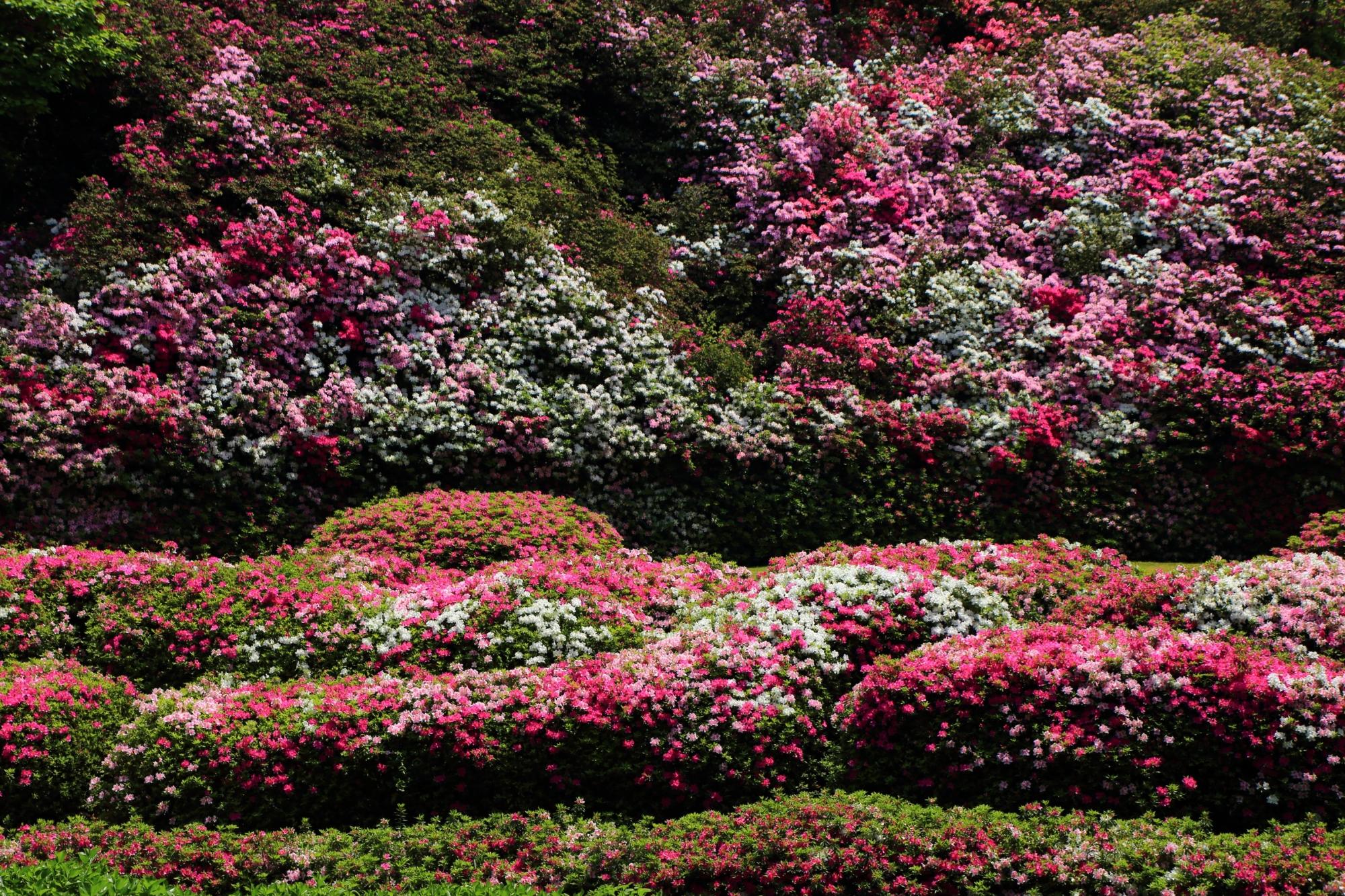 弾けるように咲き乱れる白やピンクや紫などのいろんな色のツツジ