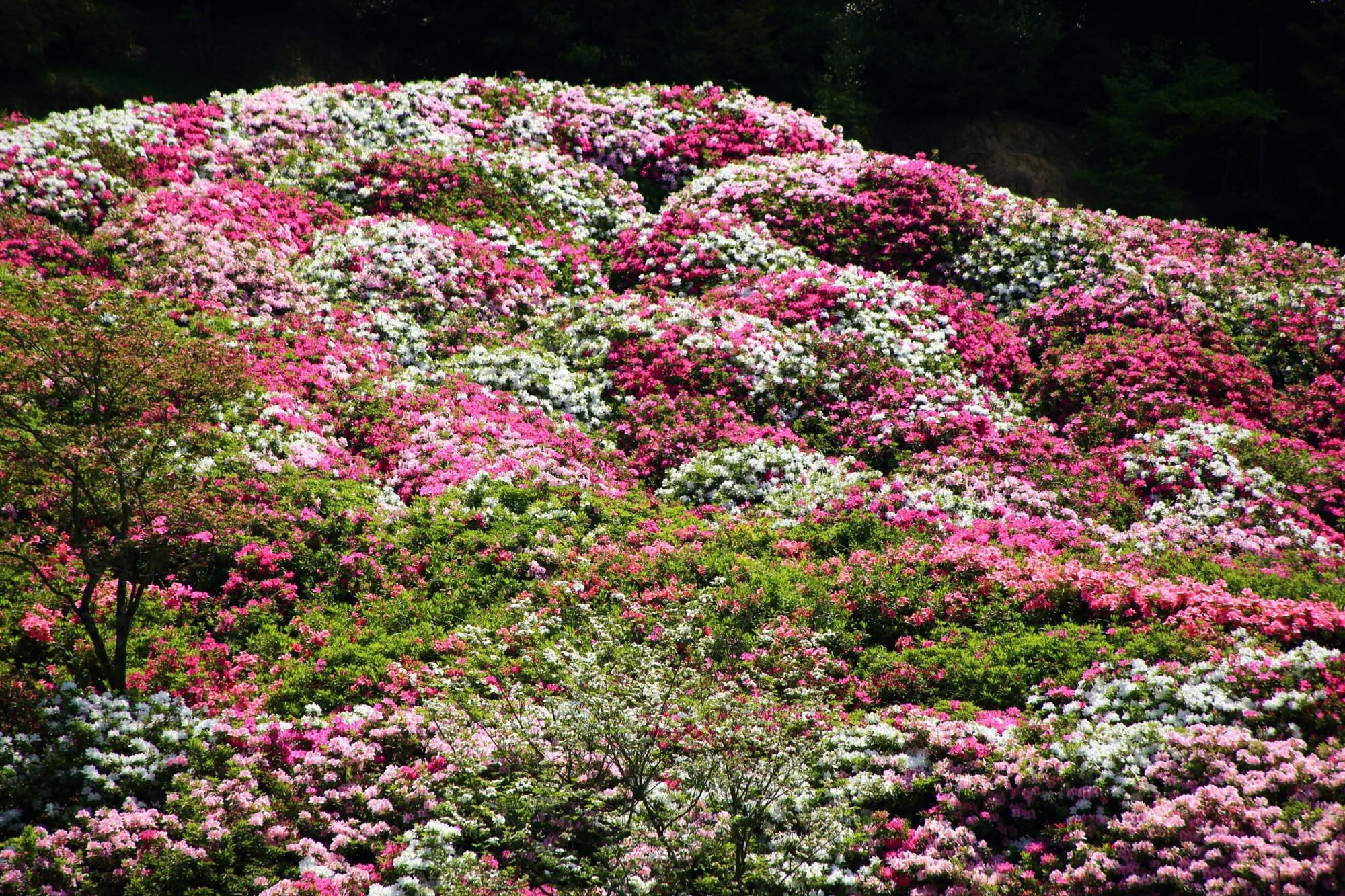 花の寺を華やぐ満開の多様なツツジ