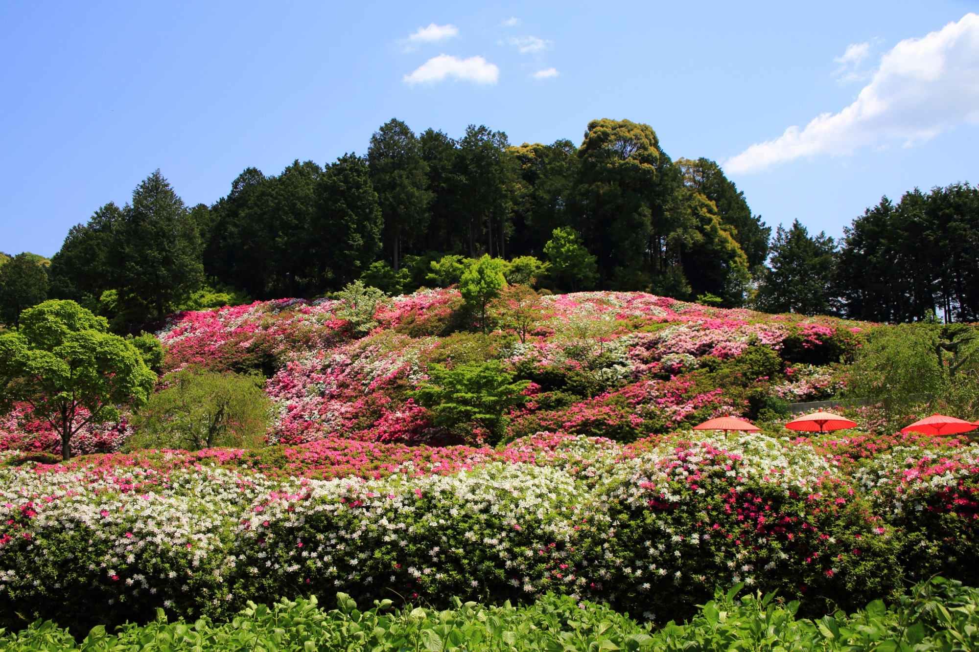 爽やかな快晴の下で華やかなツツジにつつまれる春の三室戸寺(みむろとじ)