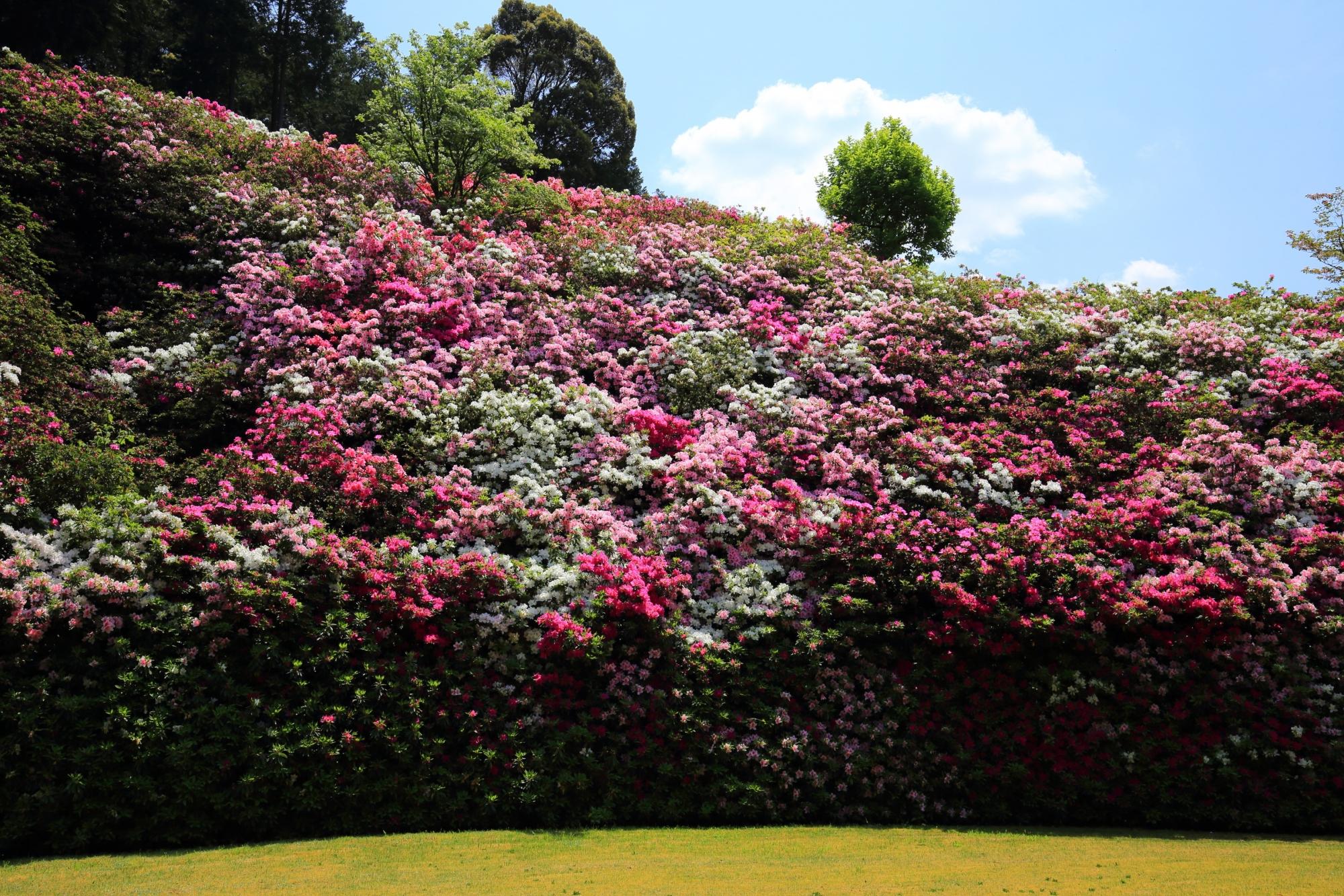 色とりどりのツツジの花に覆われた大きな壁