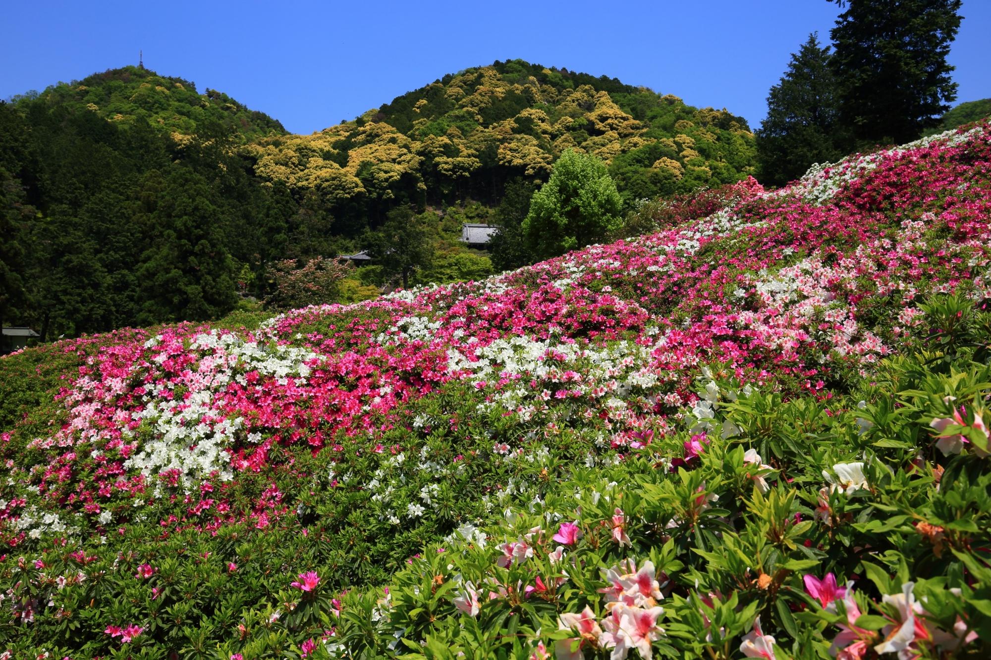 深い緑の山を背景にした華やかなつつじ園