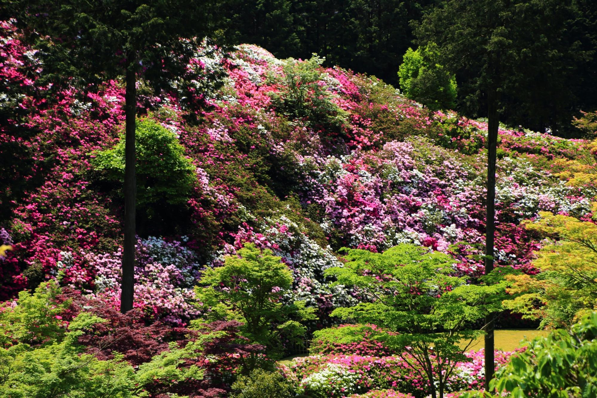 つつじ園の斜面を彩る輝くツツジの花と新緑