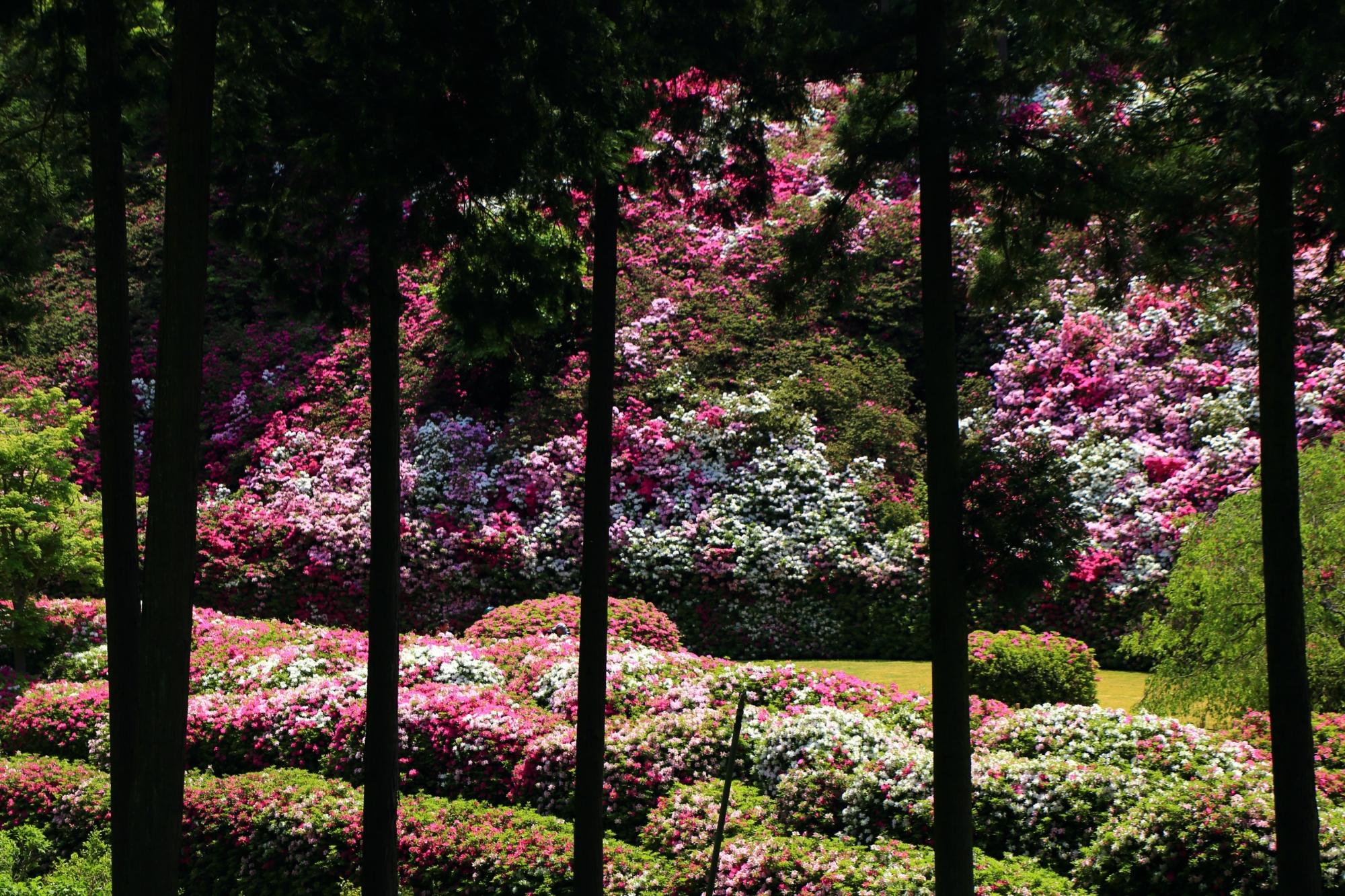 遠目から眺めた趣きの異なる三室戸寺の満開のつつじ園
