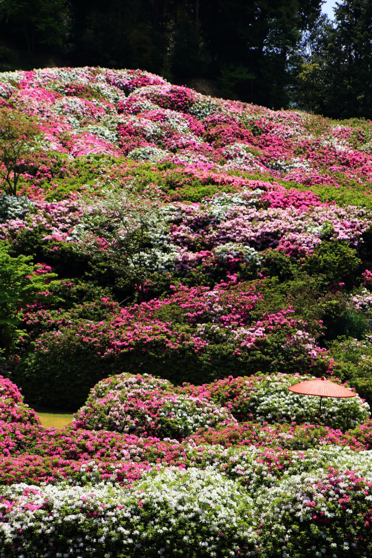 三室戸寺の素晴らしいツツジと春の情景