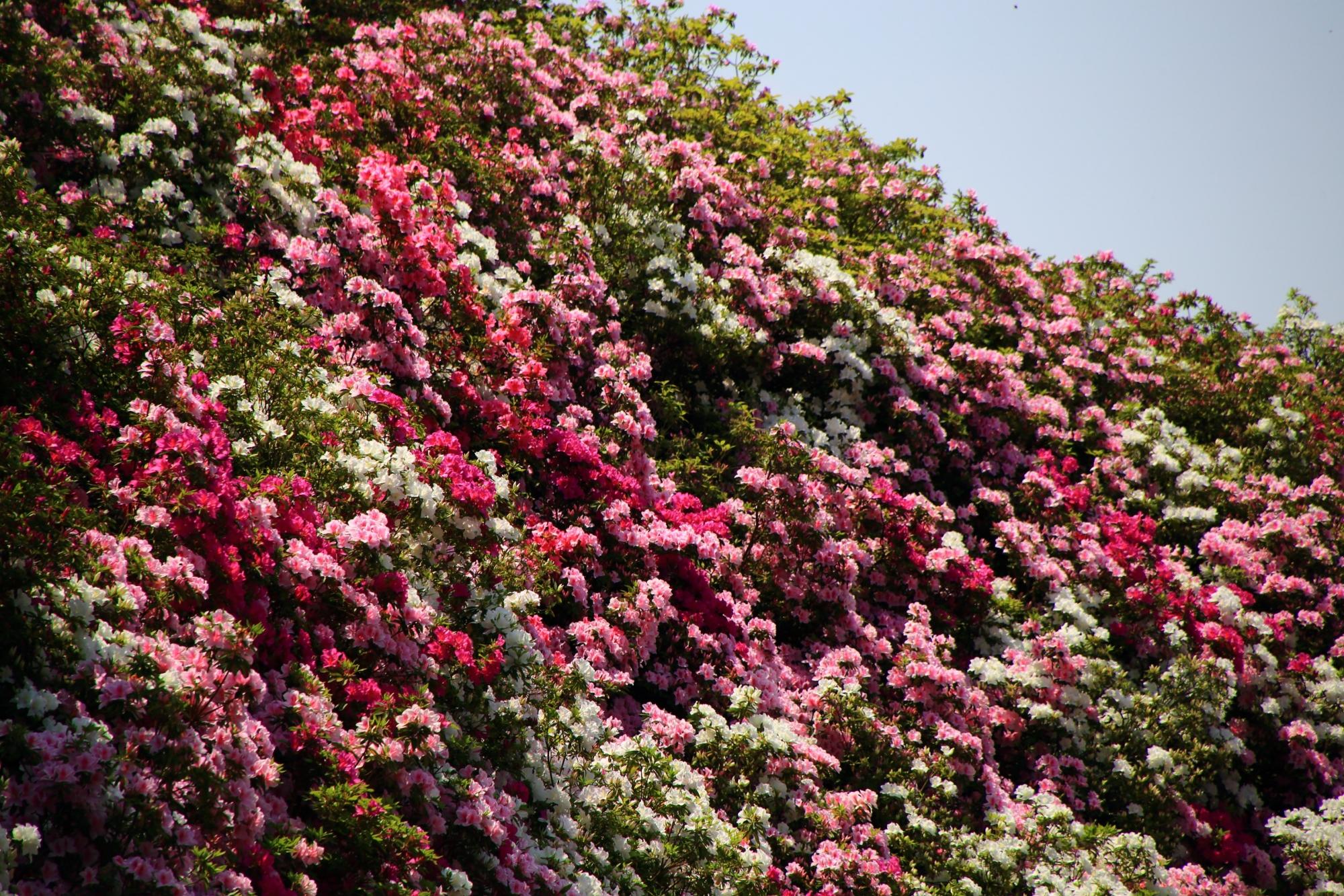 こぼれ落ちそうな輝くツツジの花