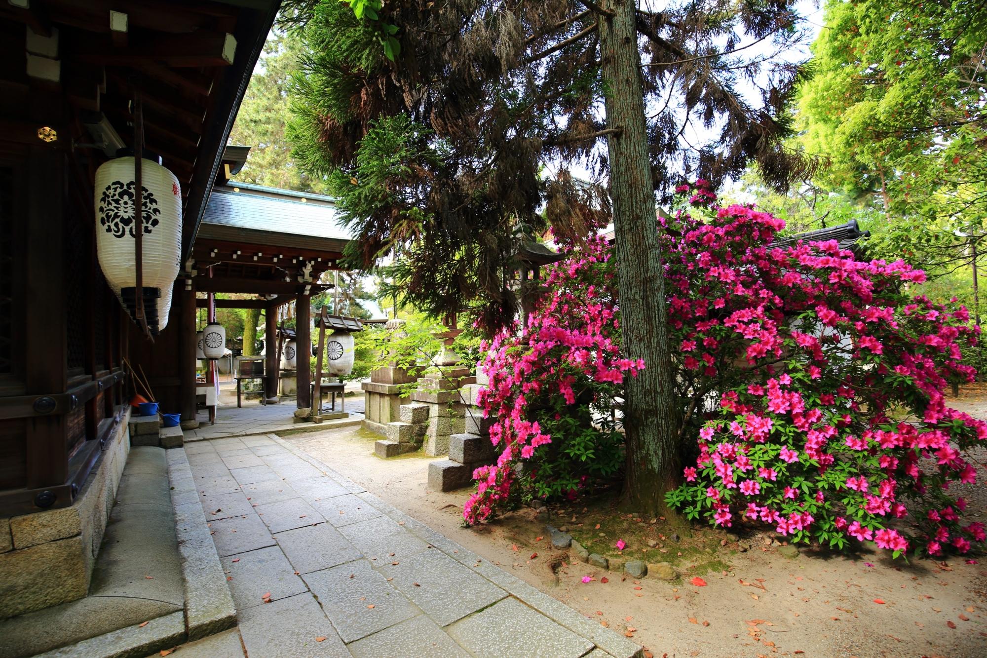上御霊神社の本殿前の満開のツツジ