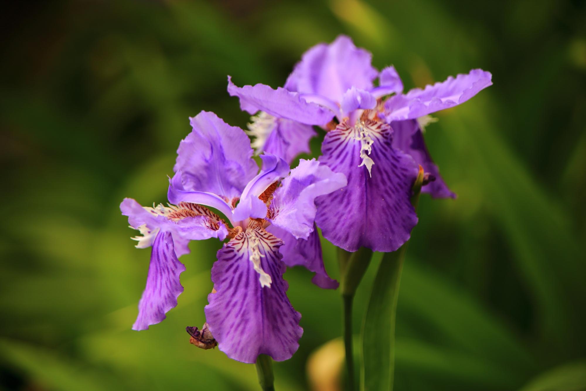 花によって色の濃さも微妙に違う一初
