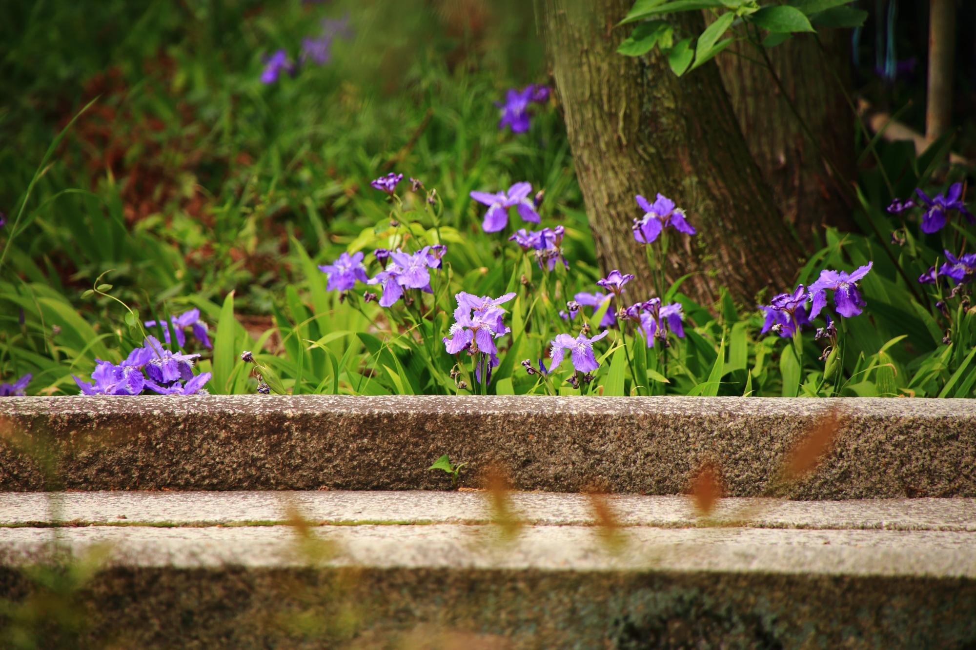 石橋から頭を覗かせる可愛いイチハツの花