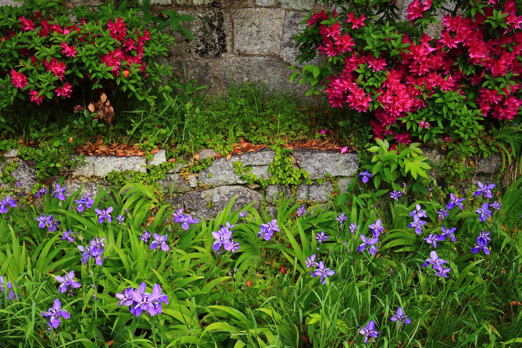 上御霊神社の鮮やかな赤いツツジの花と華やかなイチハツの花のコラボ