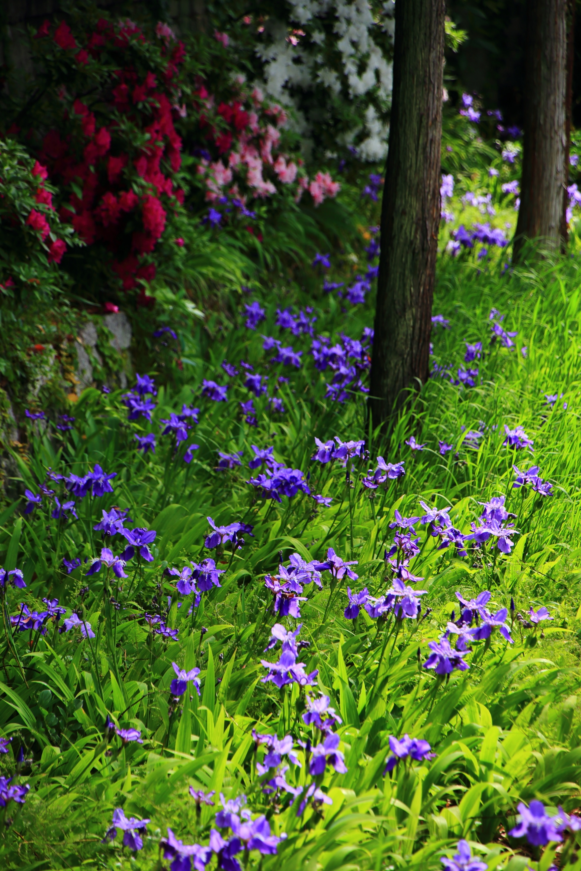色とりどりの春の彩りにつつまれる上御霊神社