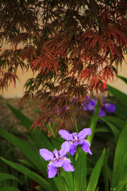 もみじの下で咲き誇る華やかなイチハツ