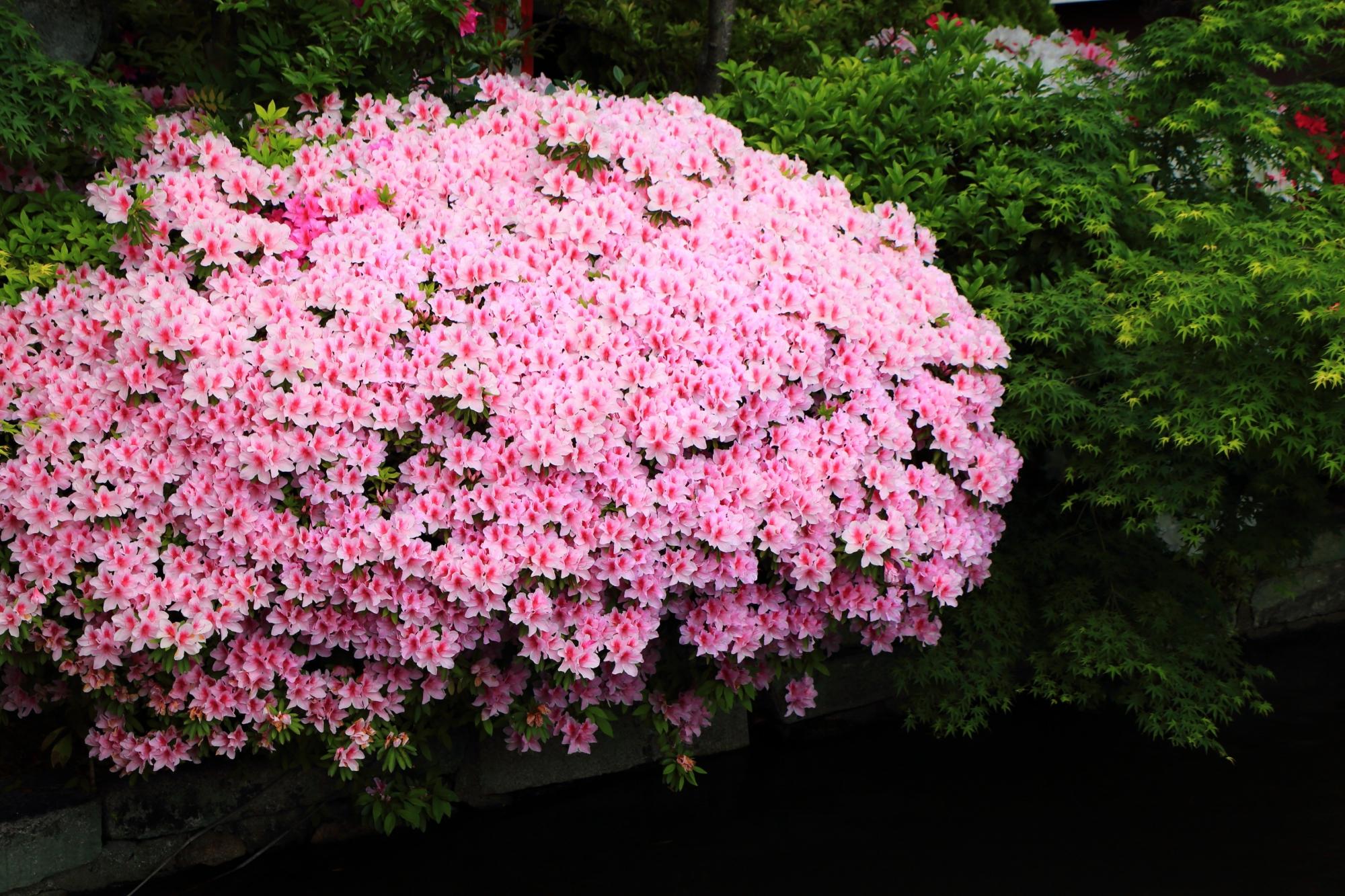 溢れんばかりに咲き誇る華やかなピンクのツツジ