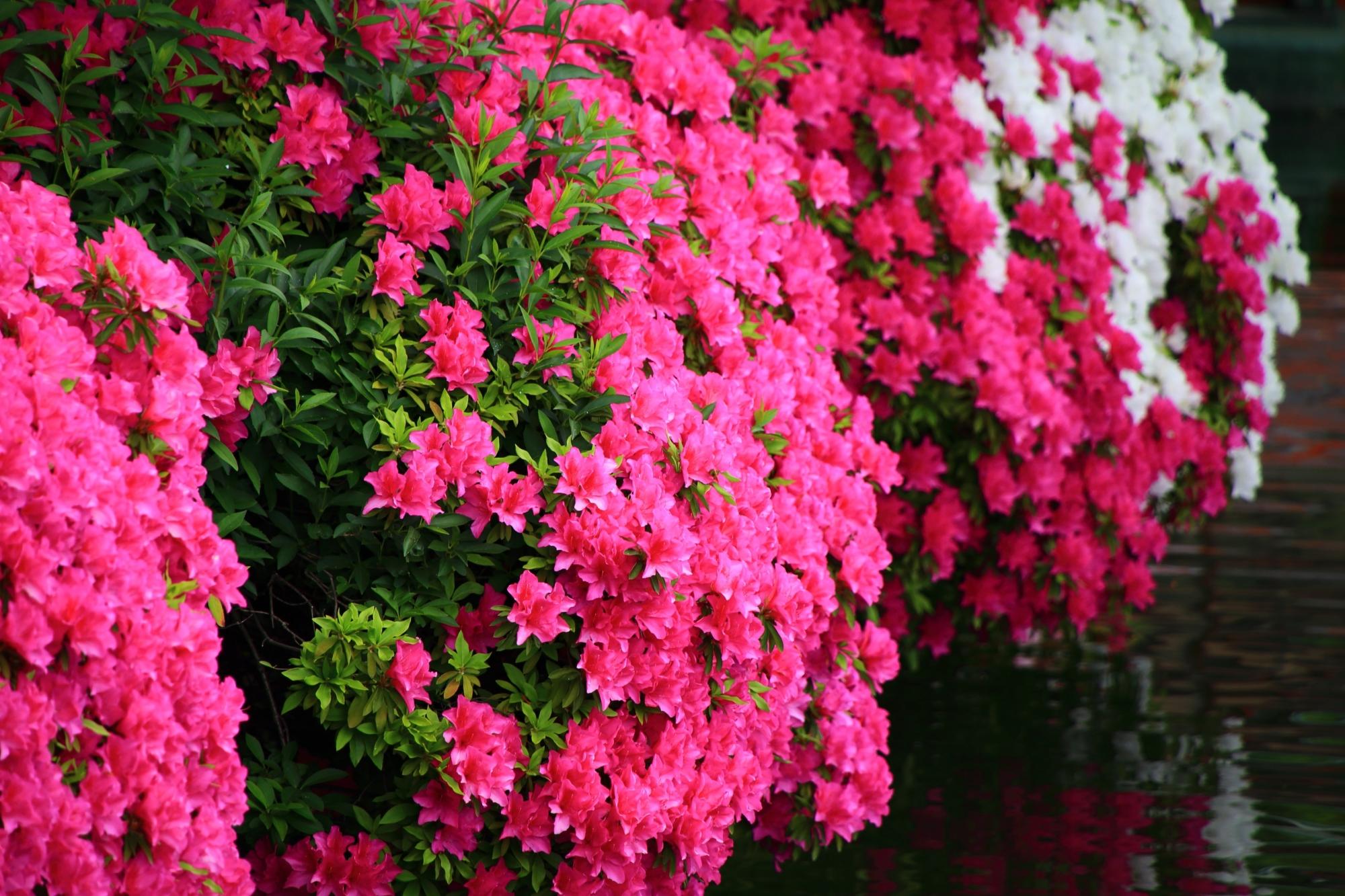 春の水辺を煌びやかに彩る多様なツツジの花
