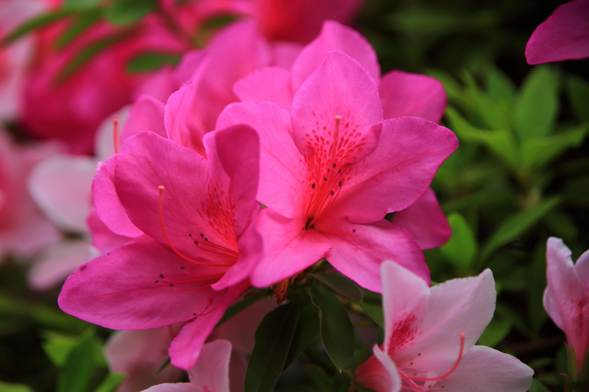 優雅に咲く満開のツツジの花