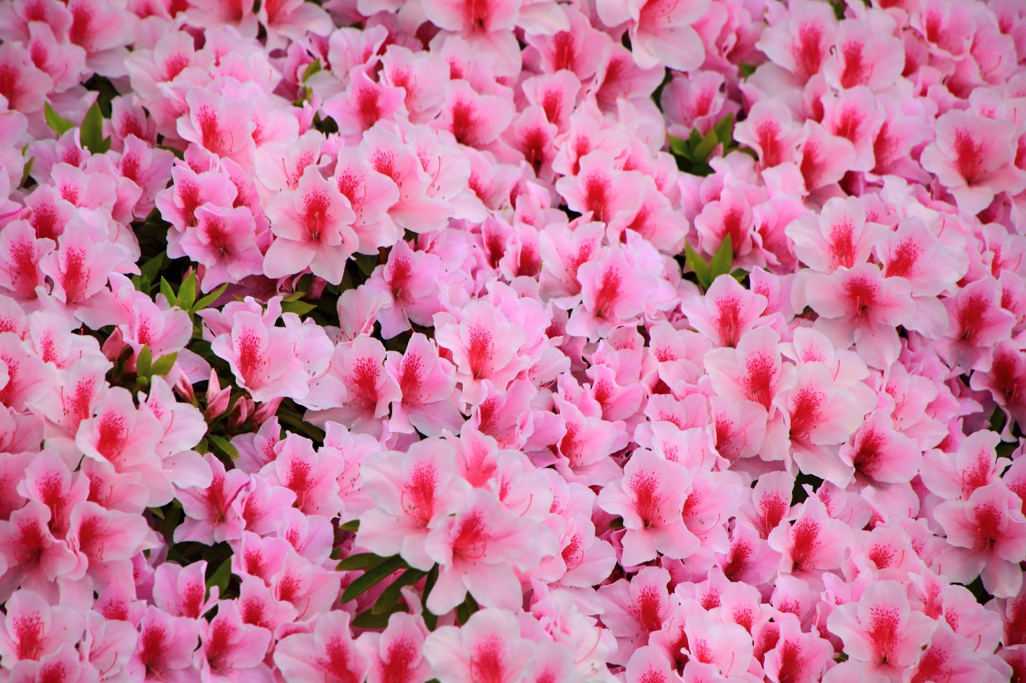 眩しく華やかな春色につつまれる神泉苑(しんせんえん)