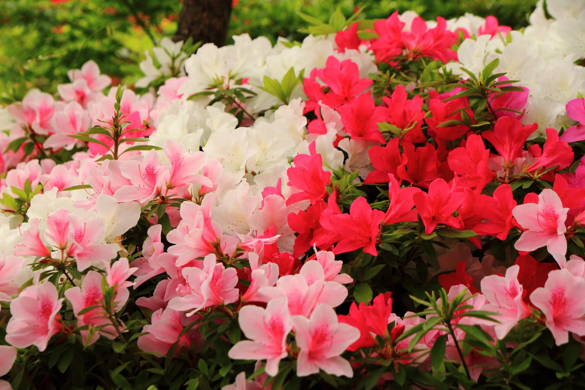 賑やかに華やぐいろんな色のツツジの花
