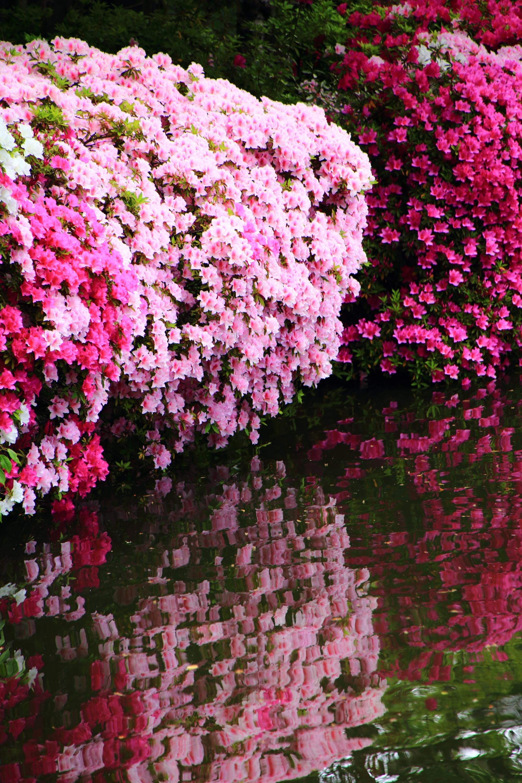 神泉苑の輝く絶品のツツジの水鏡