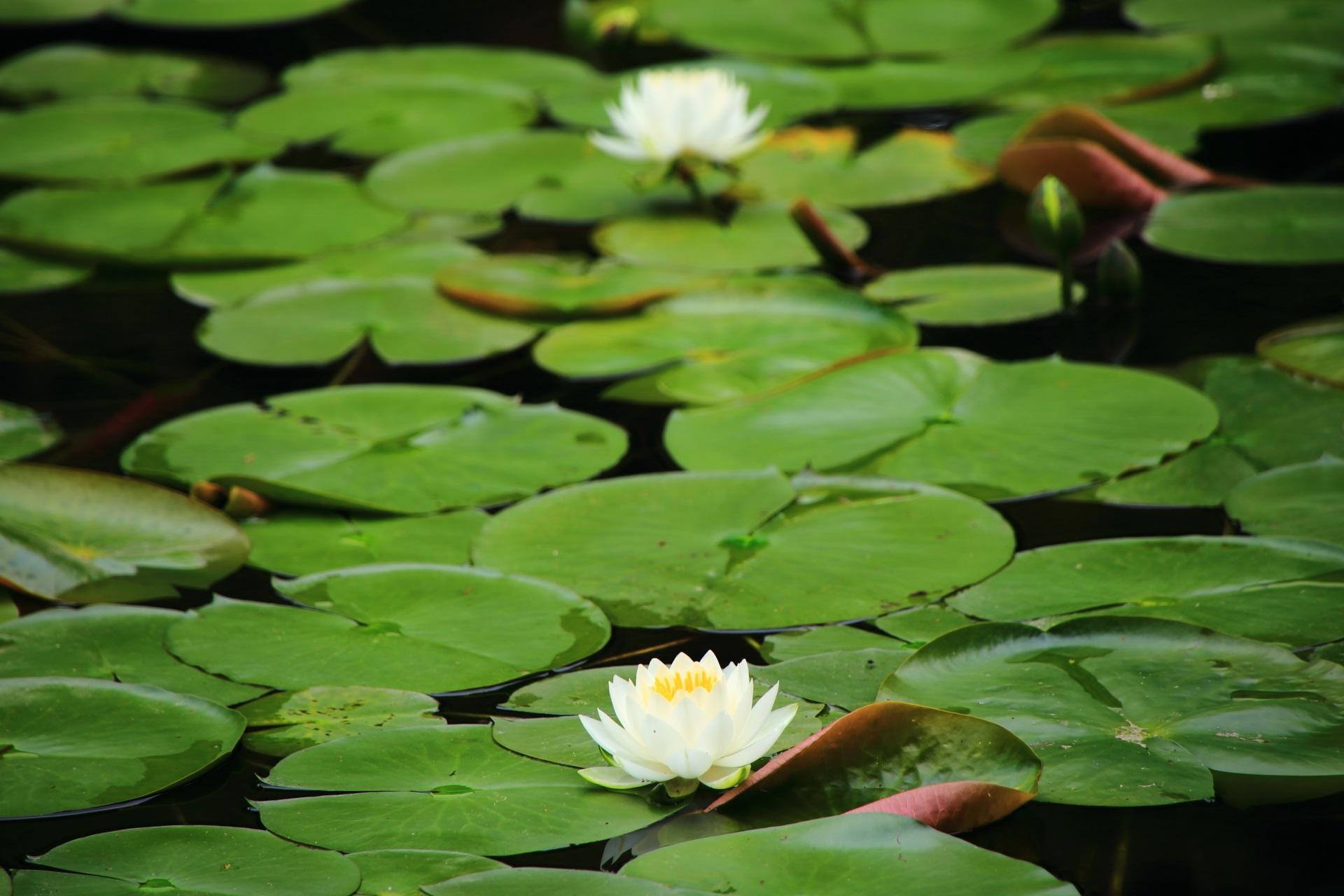 華やかさの中にも趣きが感じられる睡蓮の花